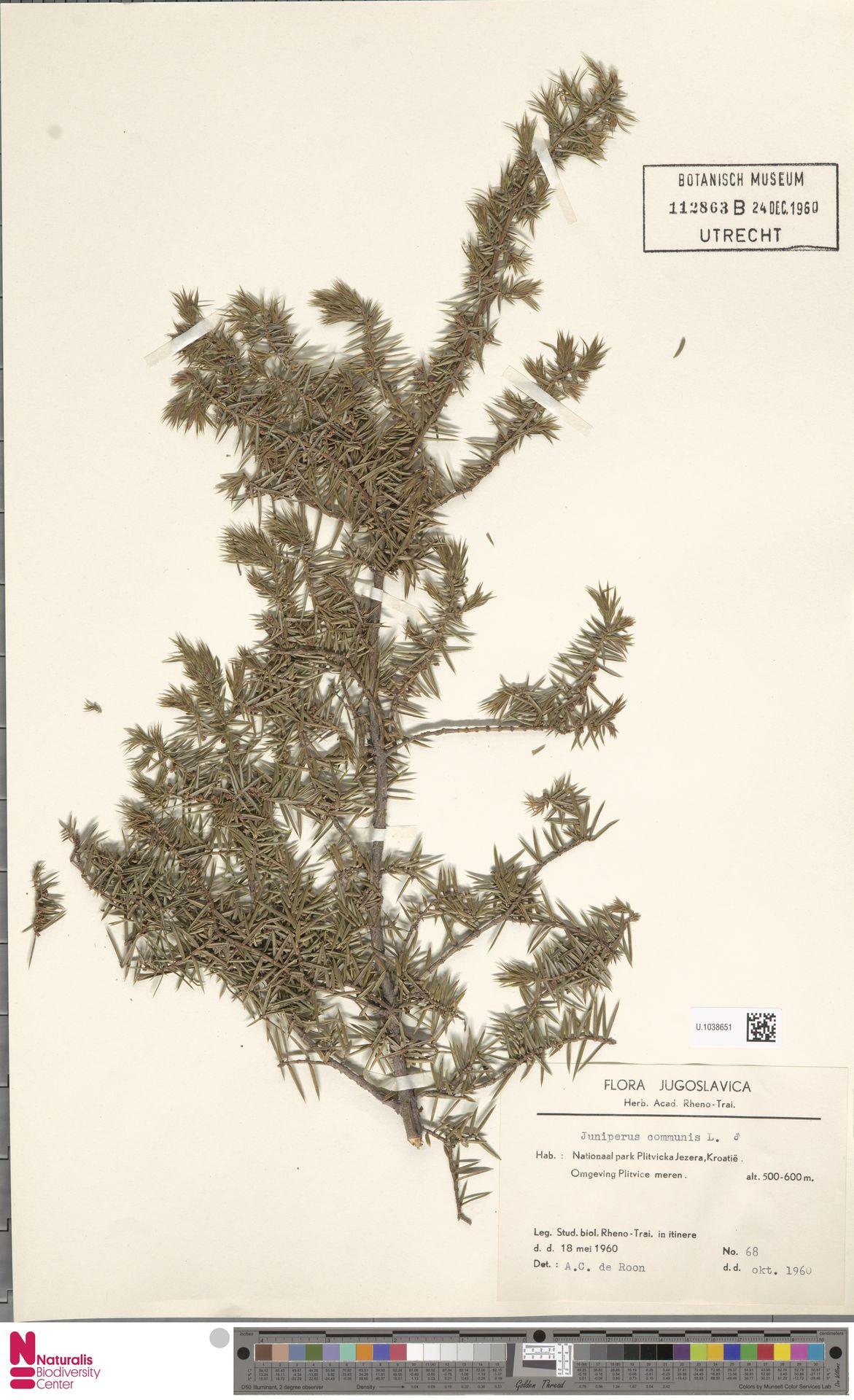 U.1038651 | Juniperus communis L.