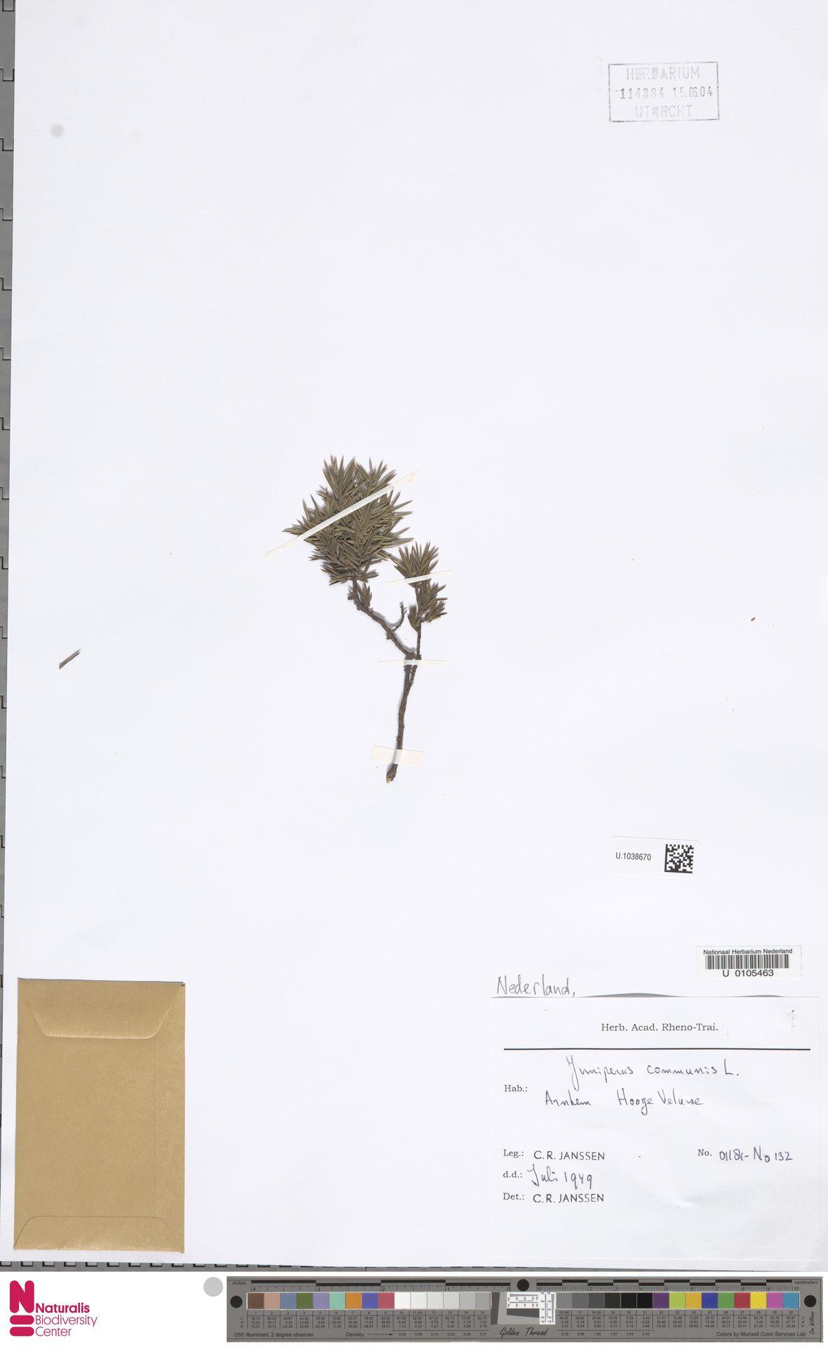 U.1038670 | Juniperus communis L.