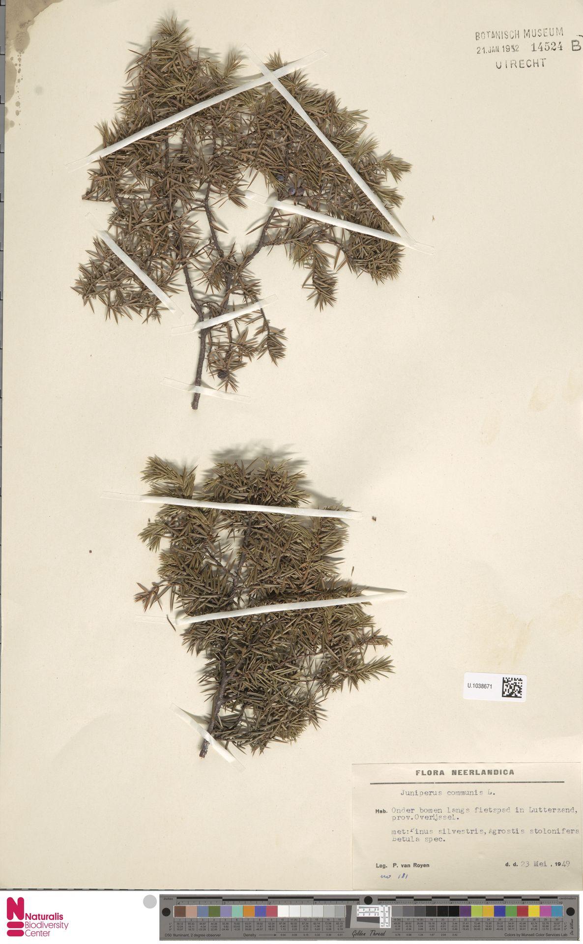 U.1038671 | Juniperus communis L.