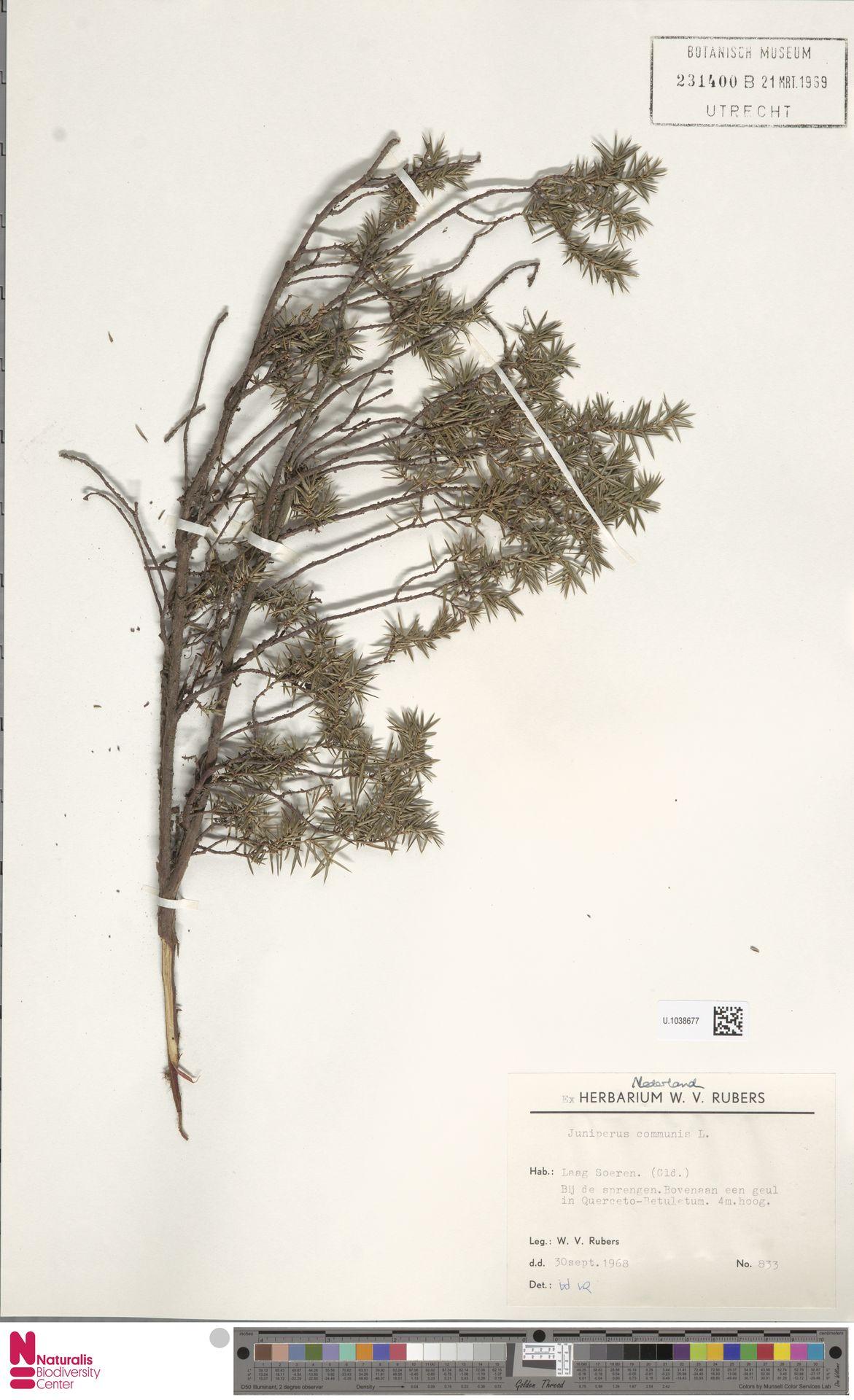 U.1038677 | Juniperus communis L.