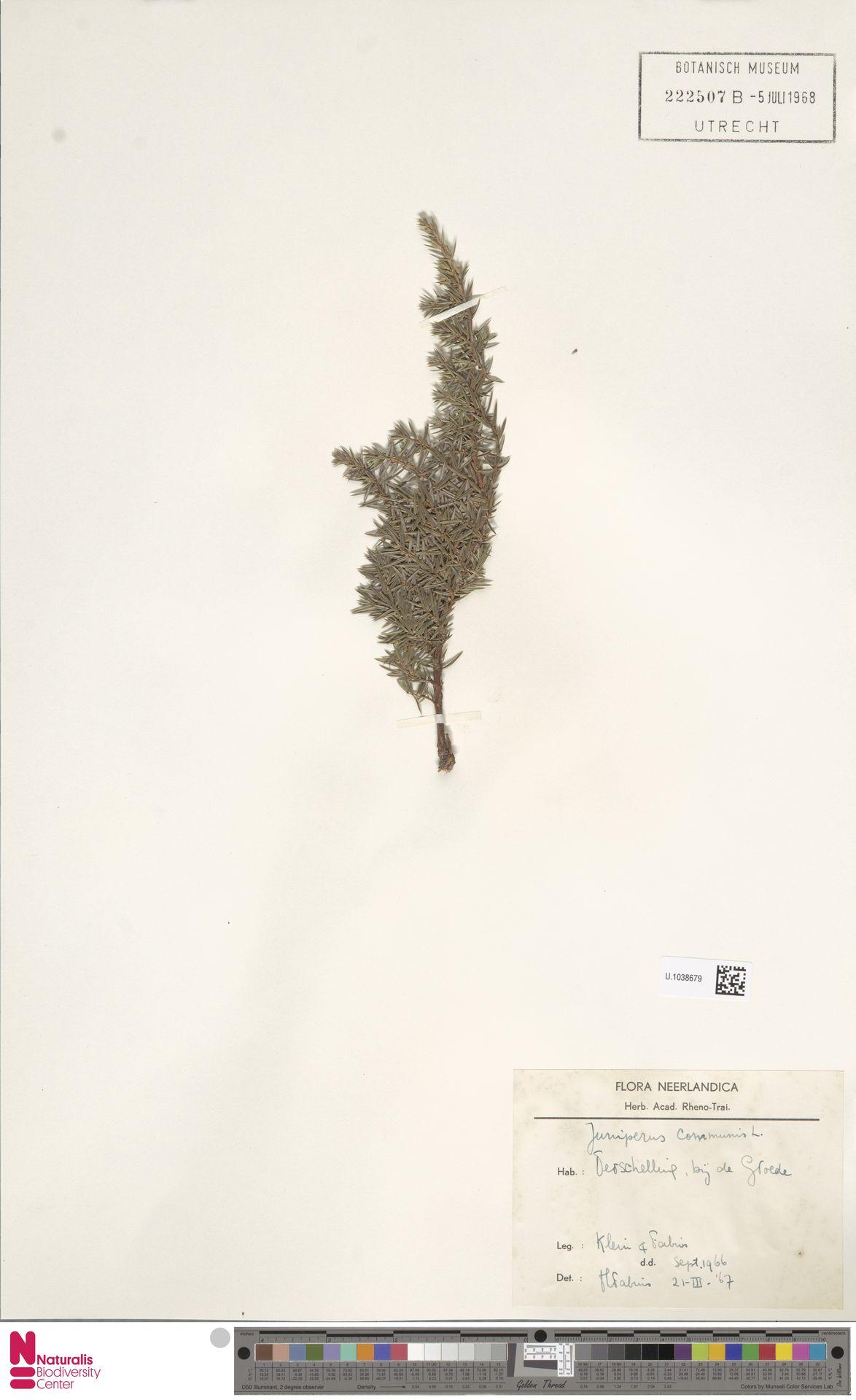 U.1038679 | Juniperus communis L.