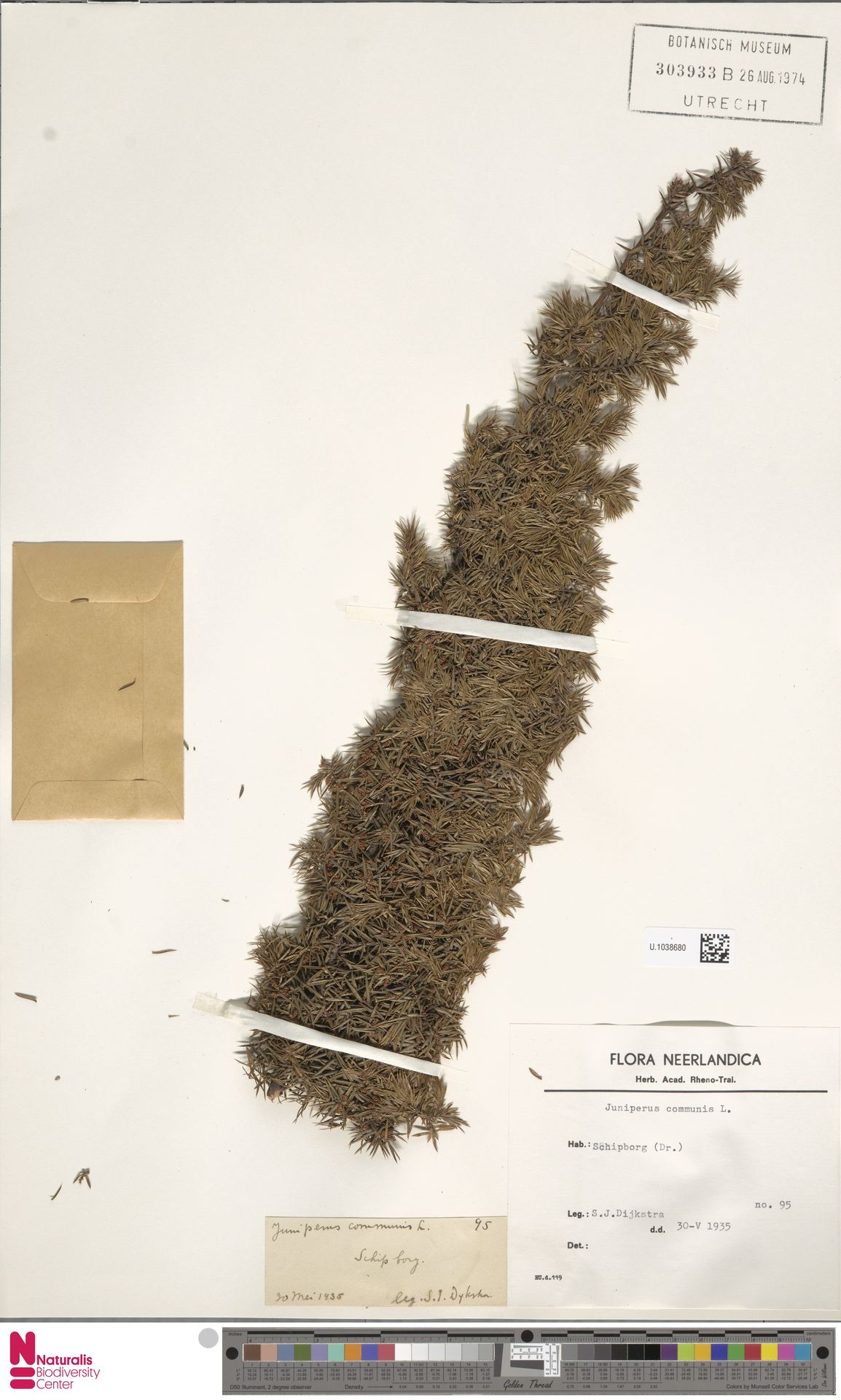 U.1038680 | Juniperus communis L.
