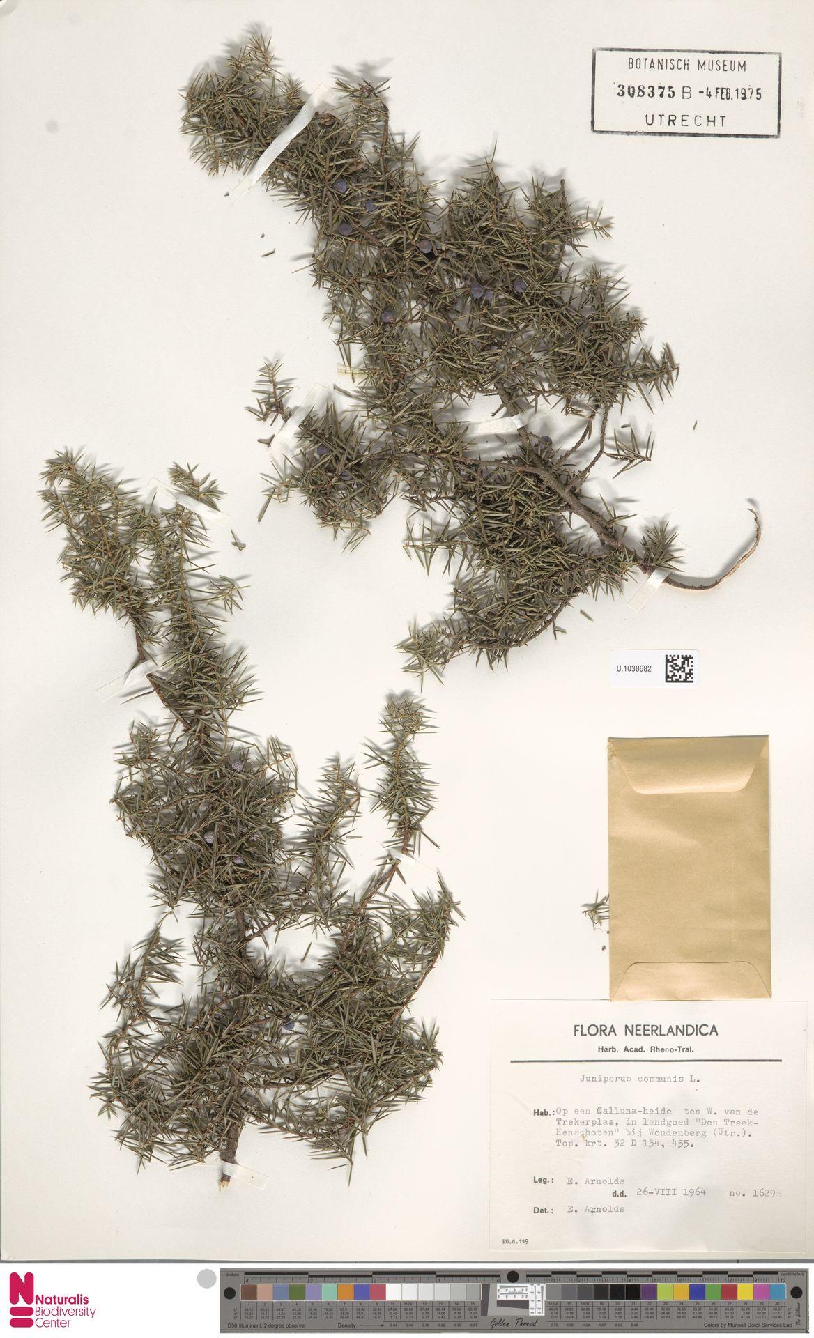U.1038682 | Juniperus communis L.