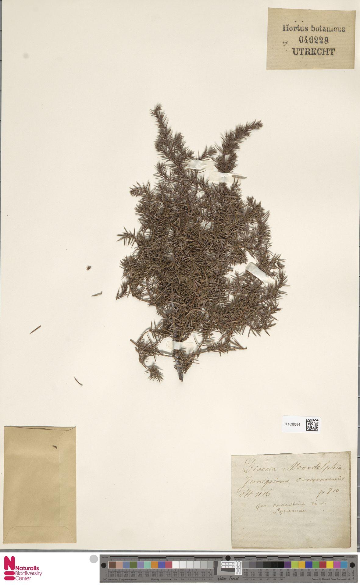 U.1038684 | Juniperus communis L.