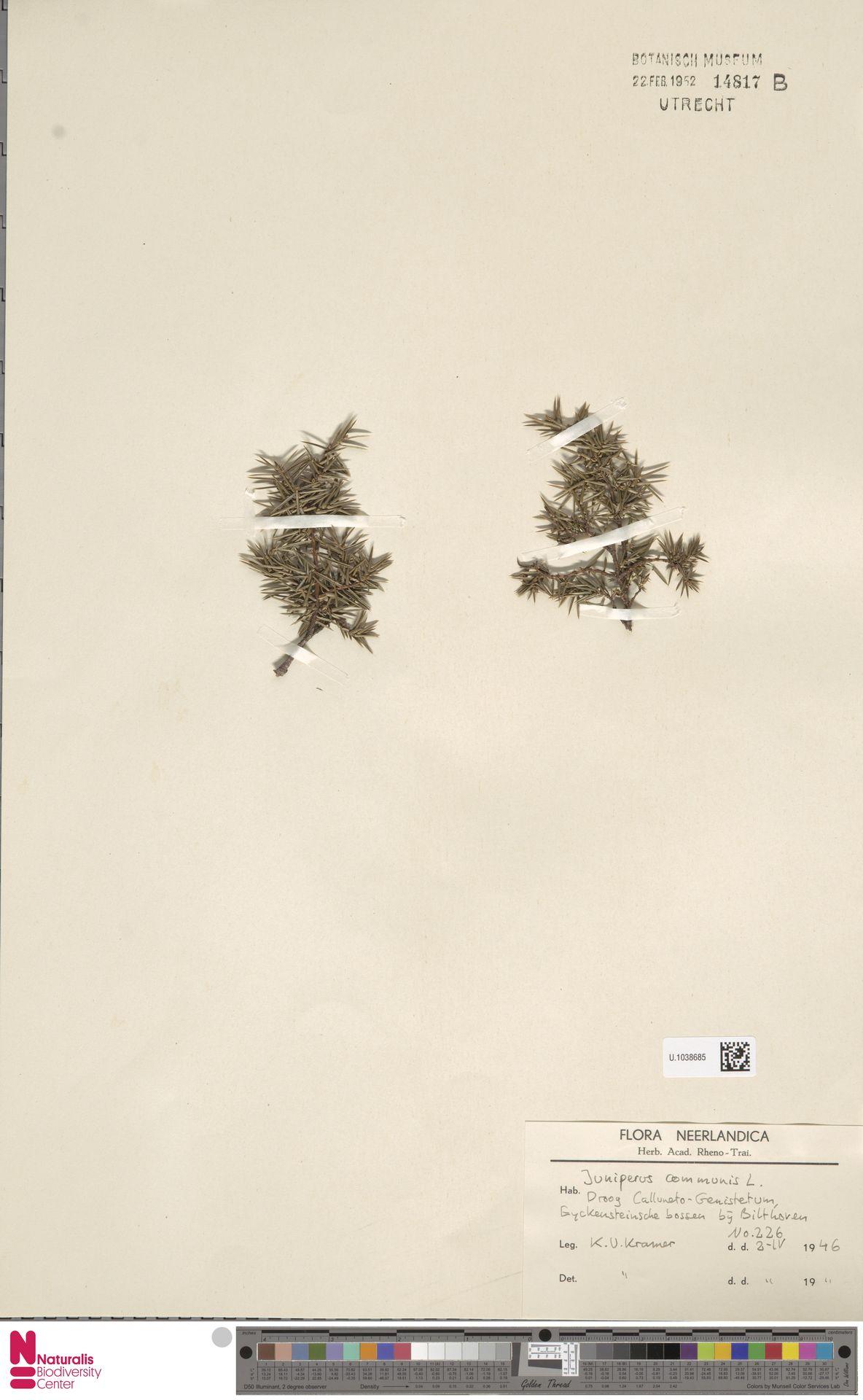 U.1038685   Juniperus communis L.