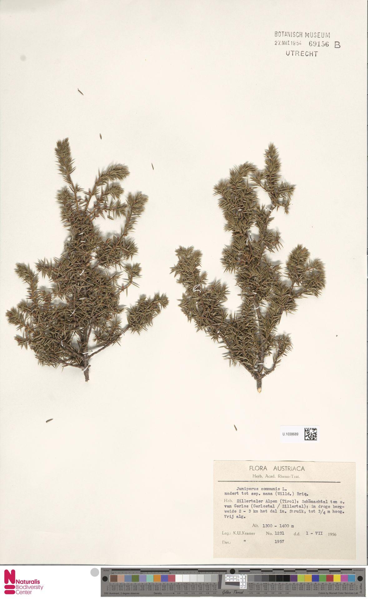 U.1038689 | Juniperus communis L.