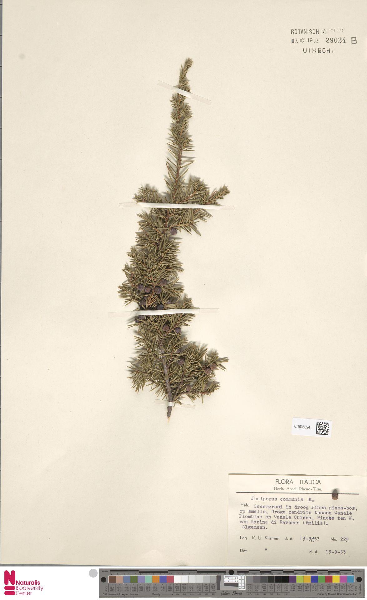 U.1038694   Juniperus communis L.