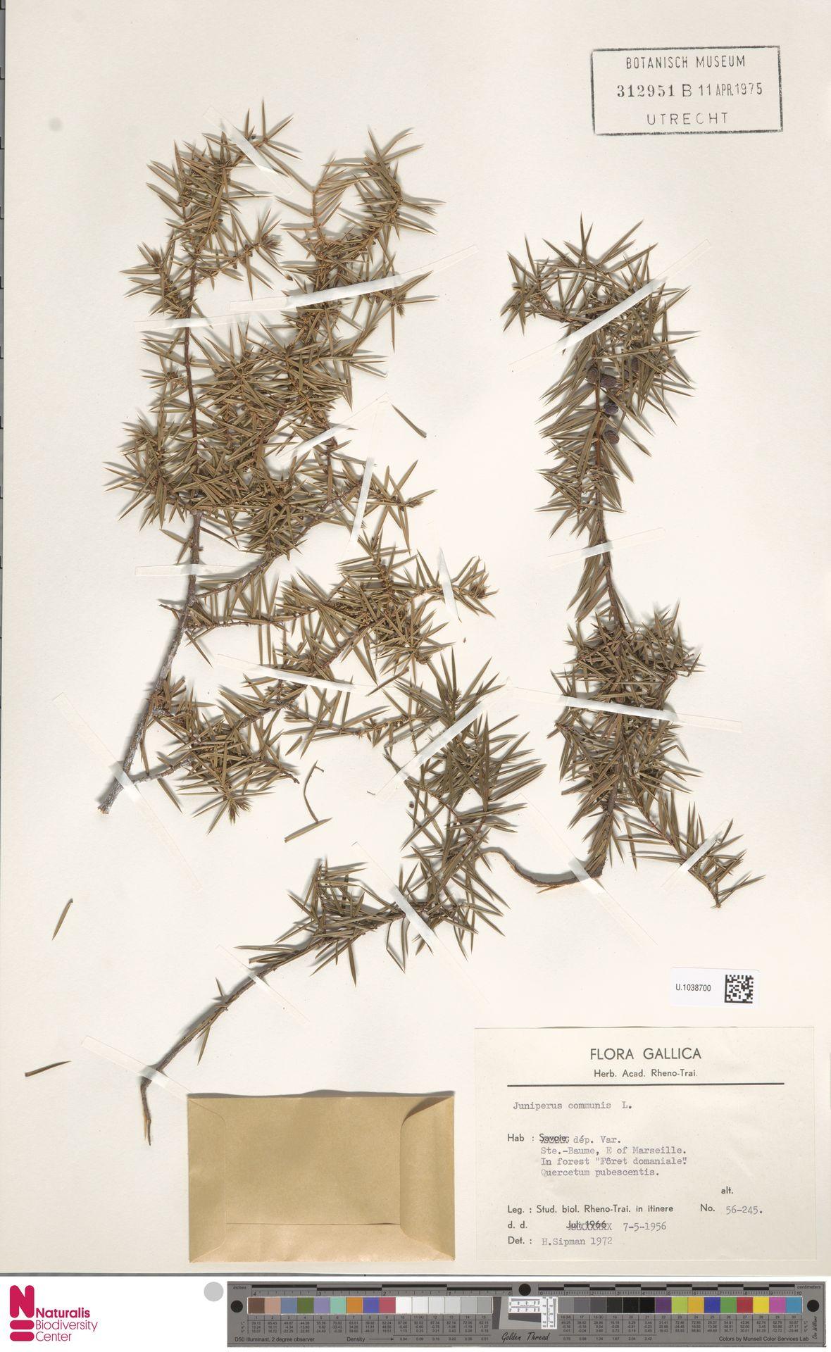 U.1038700 | Juniperus communis L.