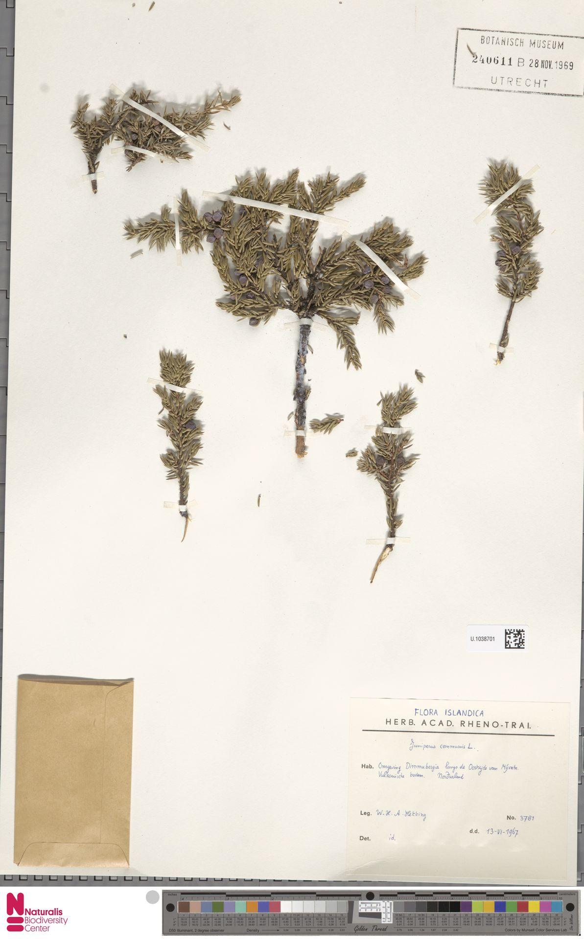 U.1038701 | Juniperus communis L.