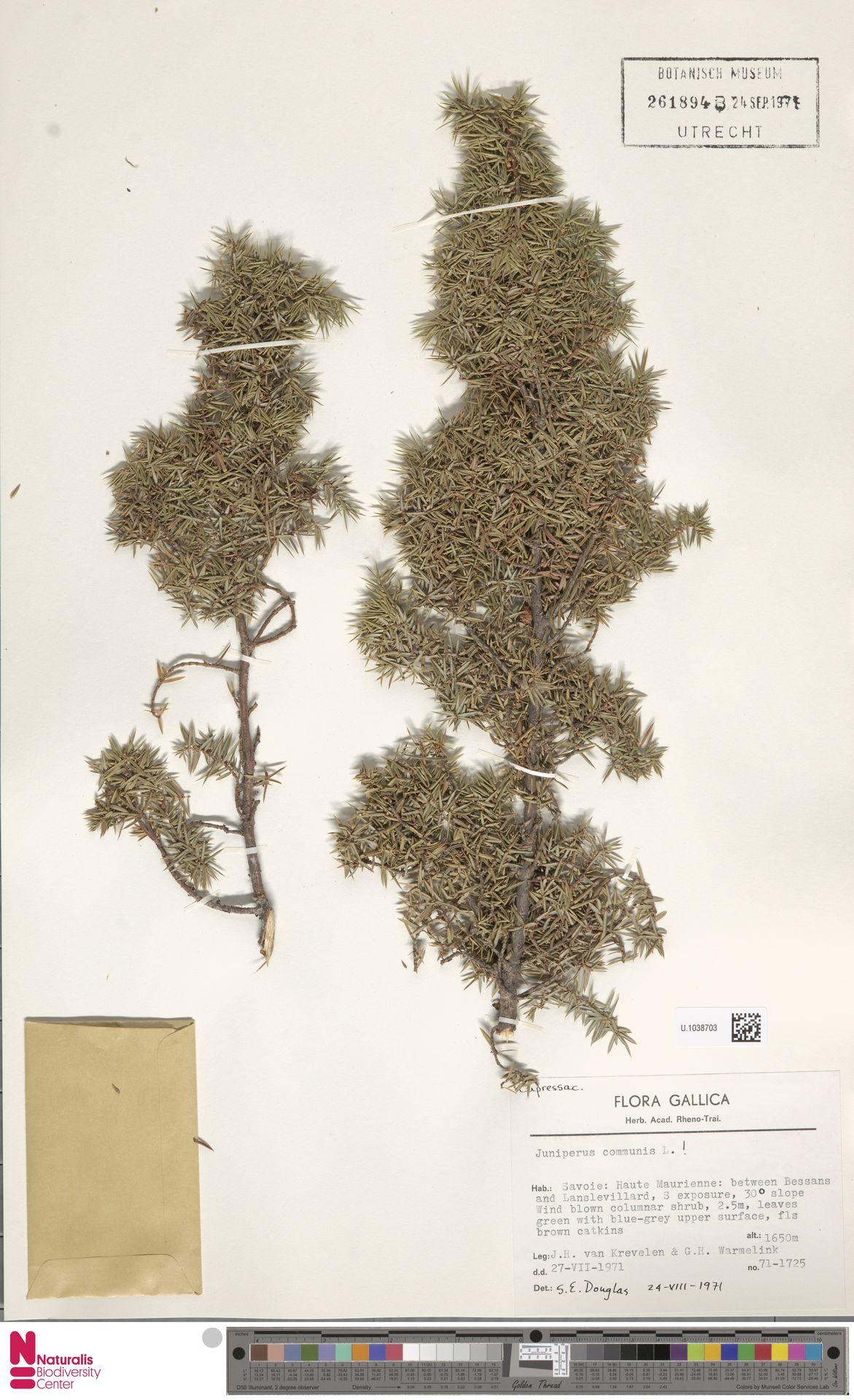 U.1038703 | Juniperus communis L.