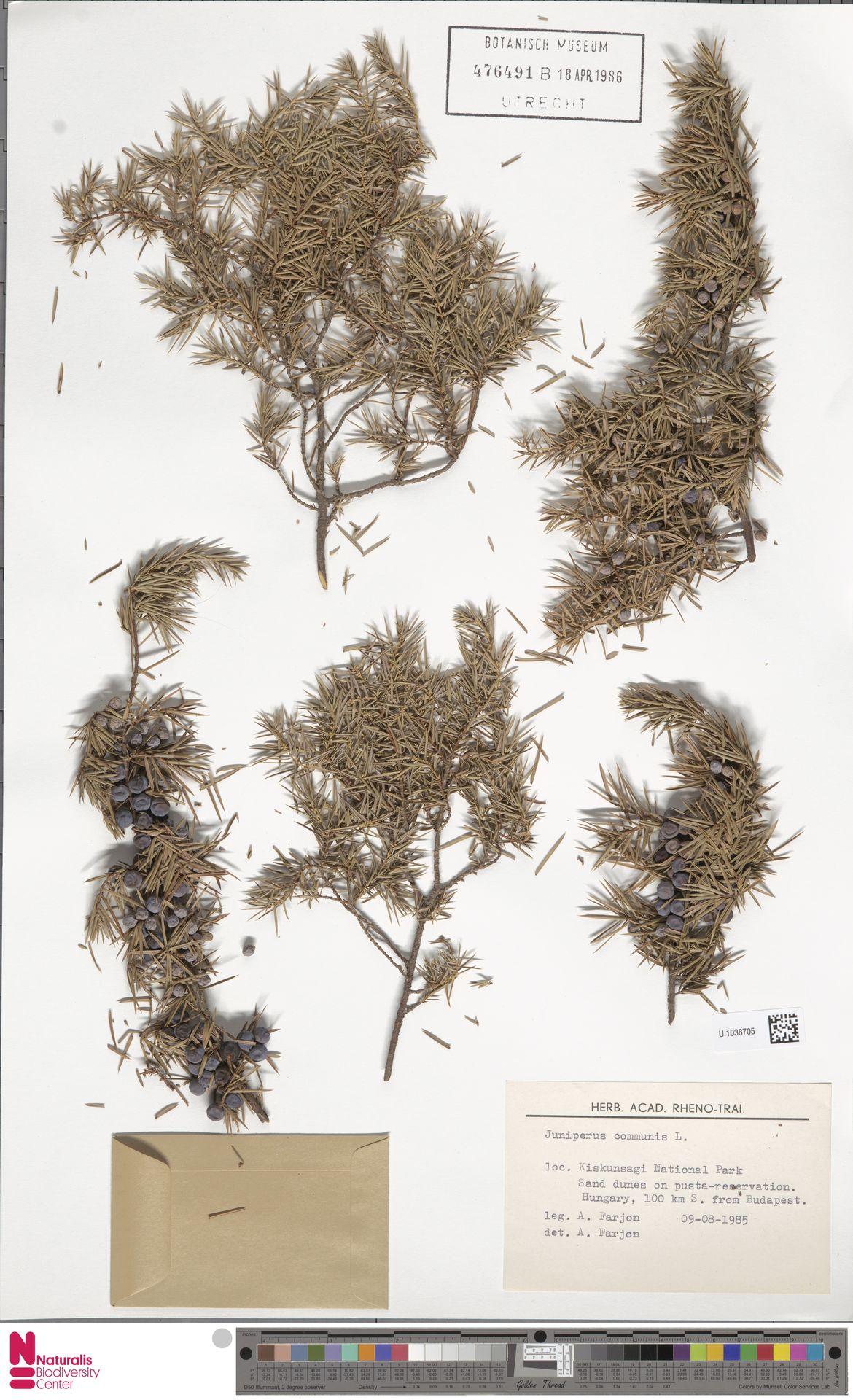 U.1038705 | Juniperus communis L.
