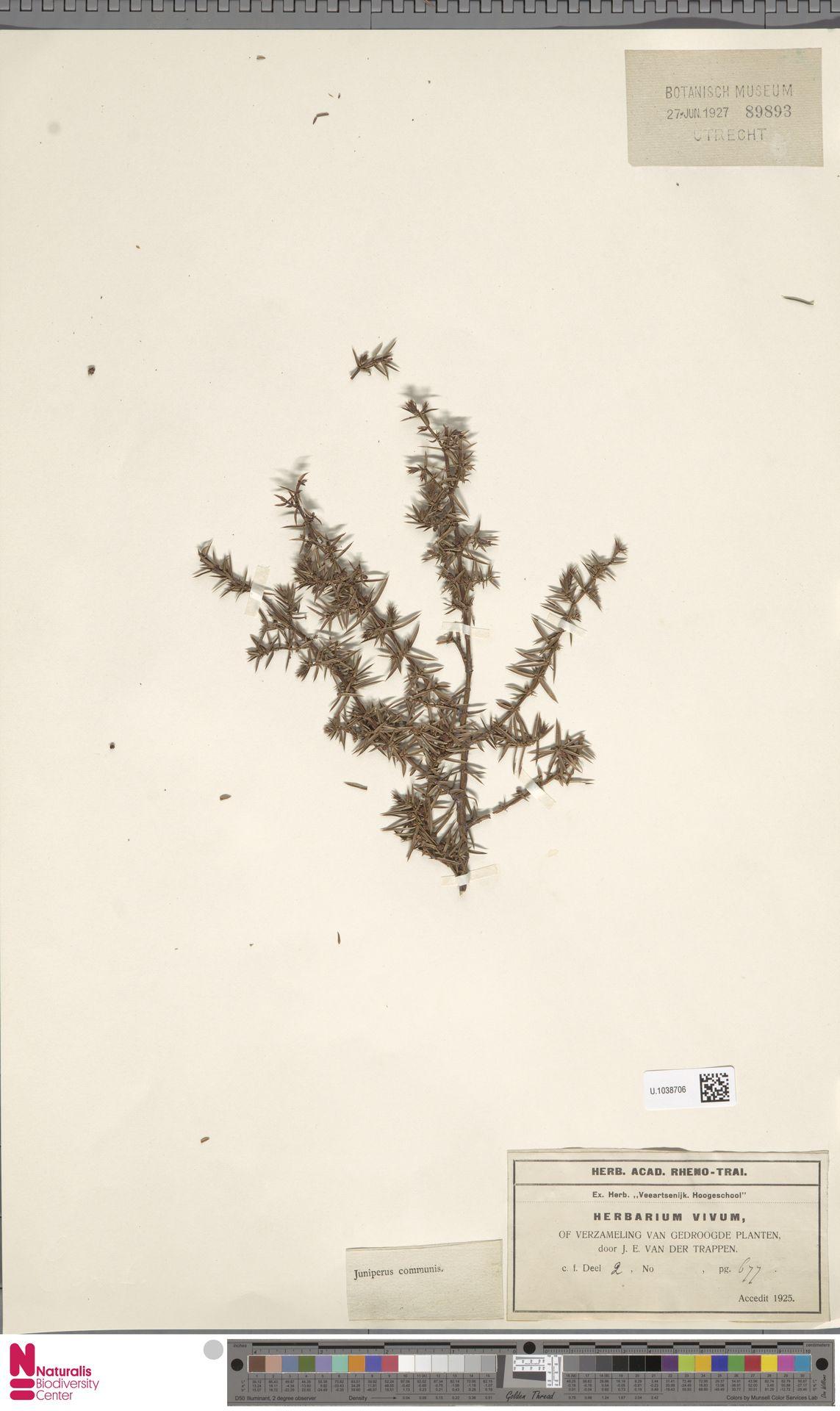 U.1038706 | Juniperus communis L.