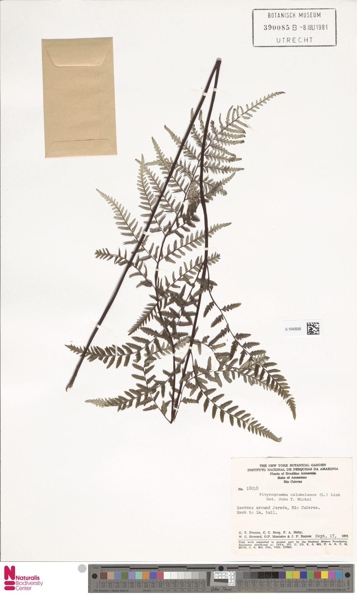 U.1040558 | Pityrogramma calomelanos (L.) Link