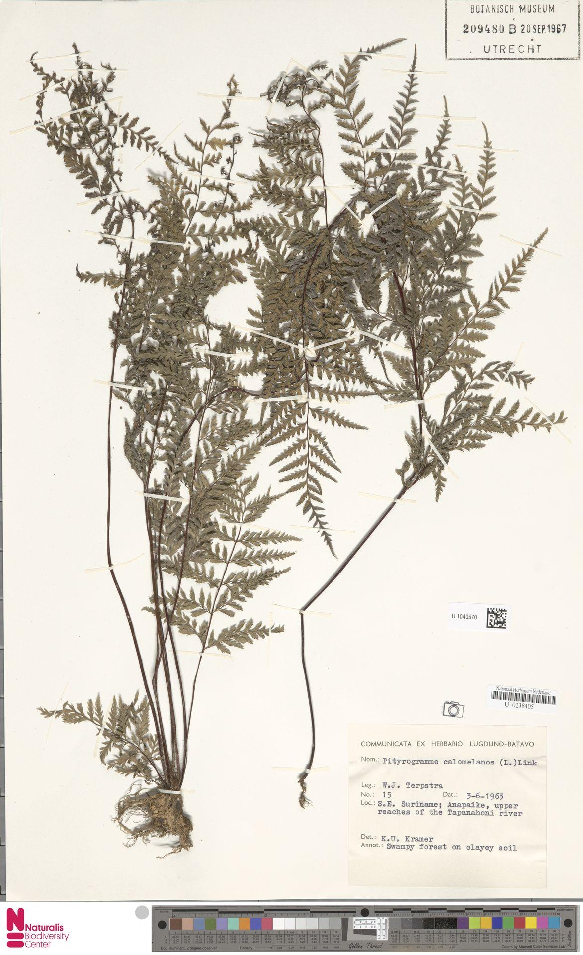 U.1040570 | Pityrogramma calomelanos (L.) Link