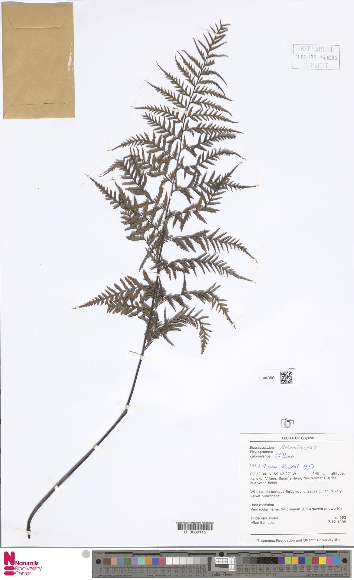 U.1040609 | Pityrogramma calomelanos (L.) Link
