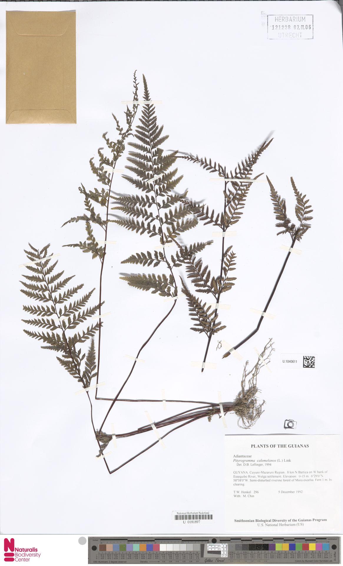 U.1040611 | Pityrogramma calomelanos (L.) Link
