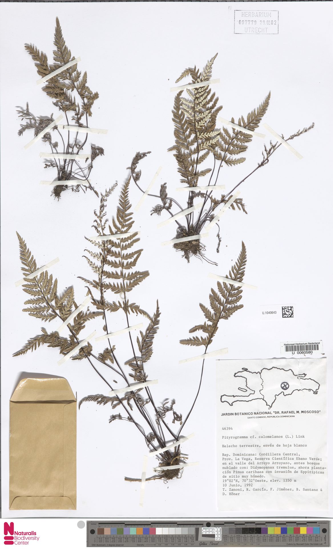 U.1040643 | Pityrogramma calomelanos (L.) Link