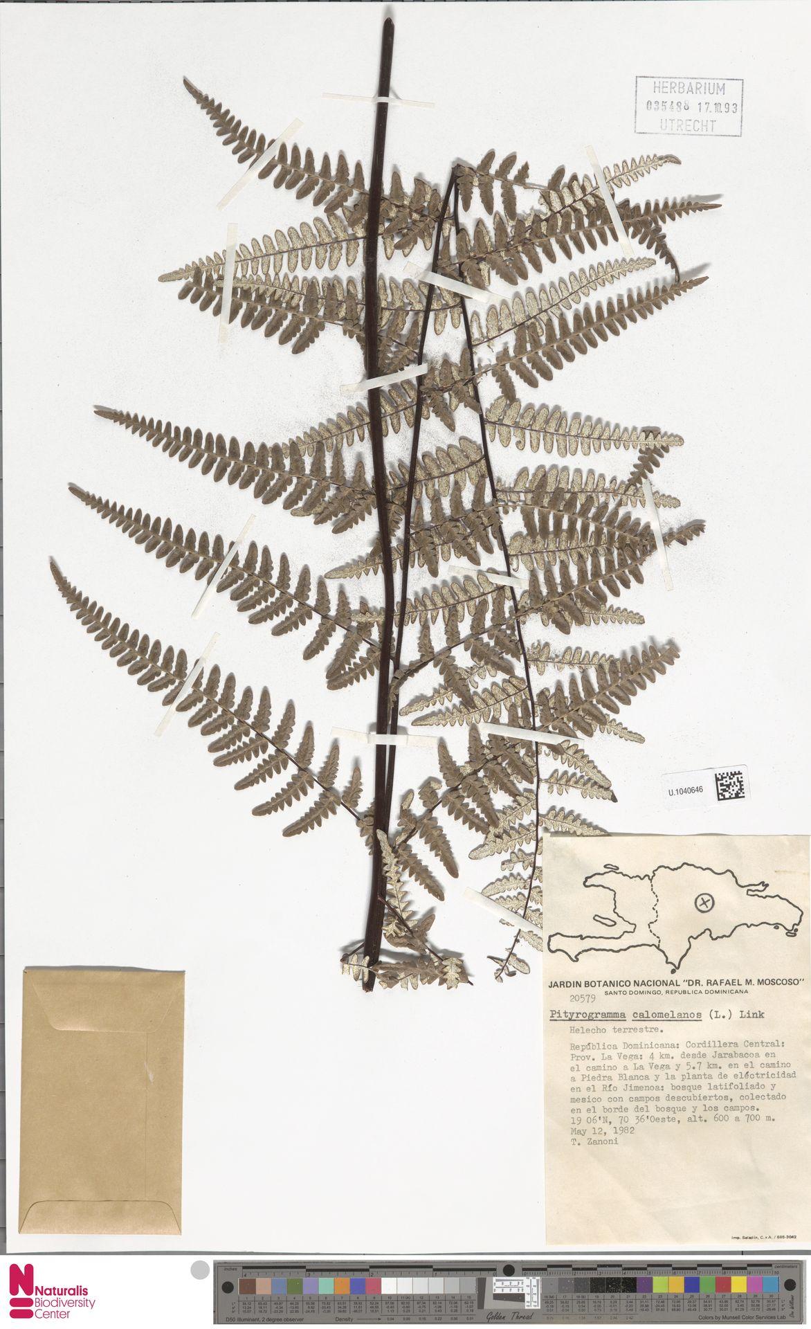 U.1040646 | Pityrogramma calomelanos (L.) Link