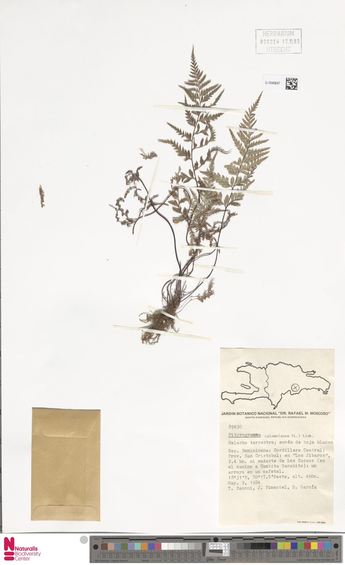 U.1040647   Pityrogramma calomelanos (L.) Link