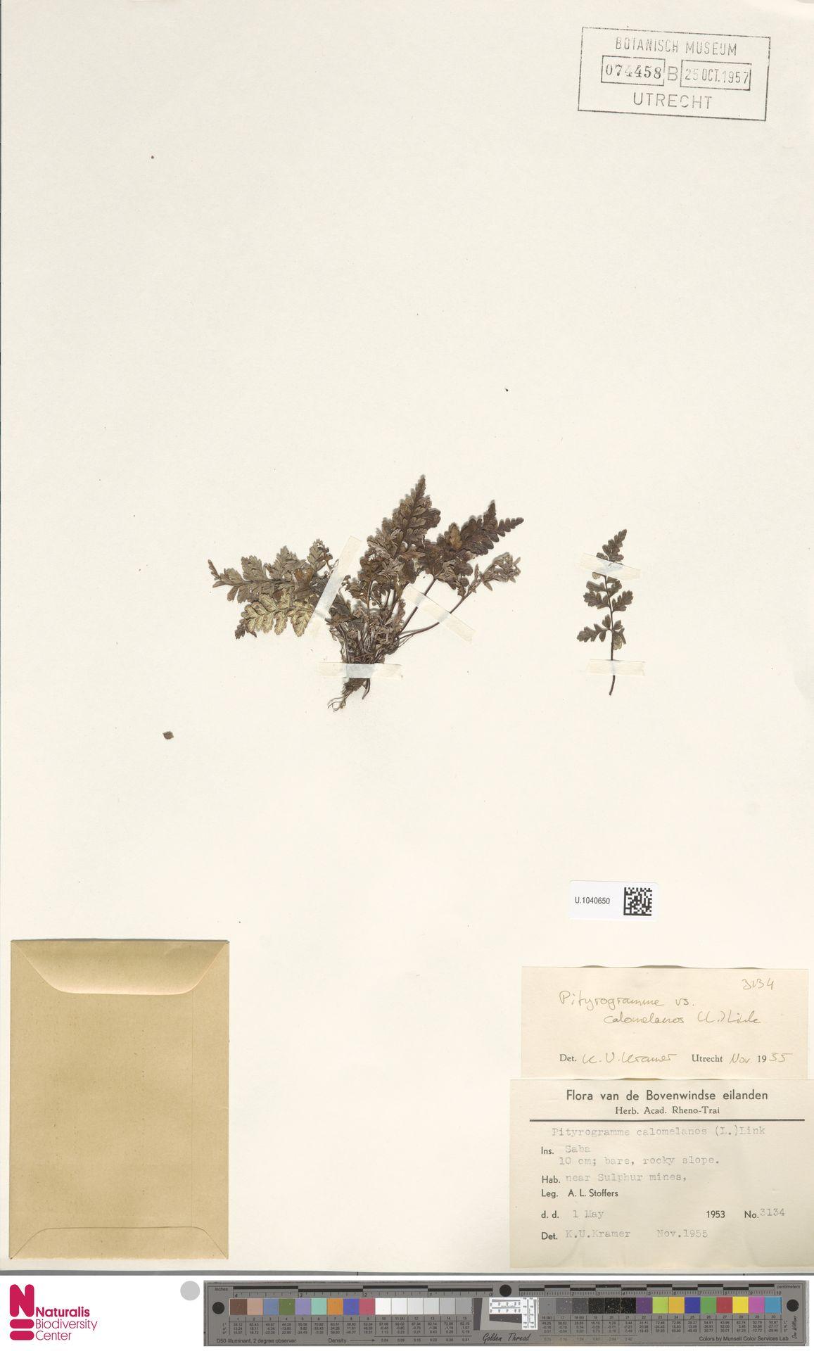 U.1040650 | Pityrogramma calomelanos (L.) Link