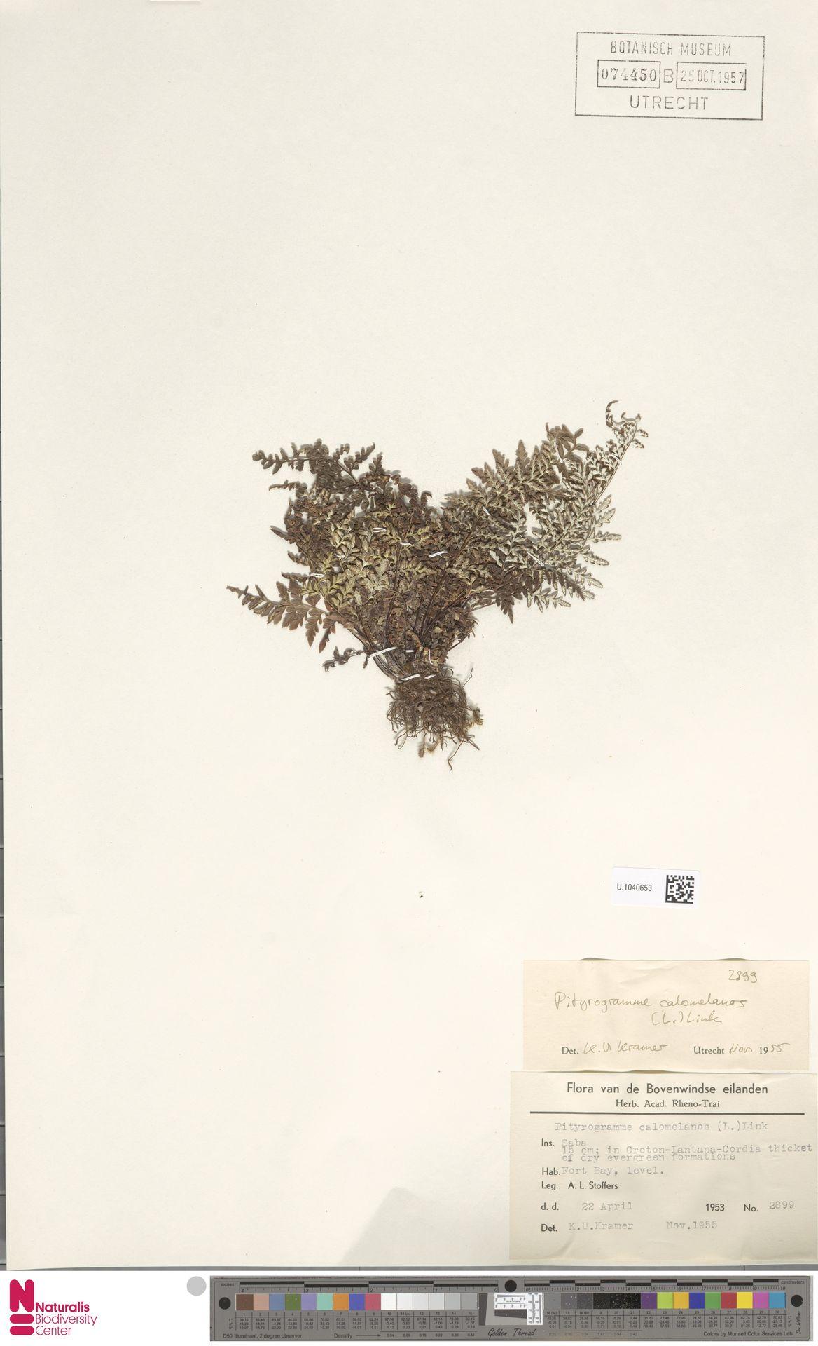 U.1040653 | Pityrogramma calomelanos (L.) Link