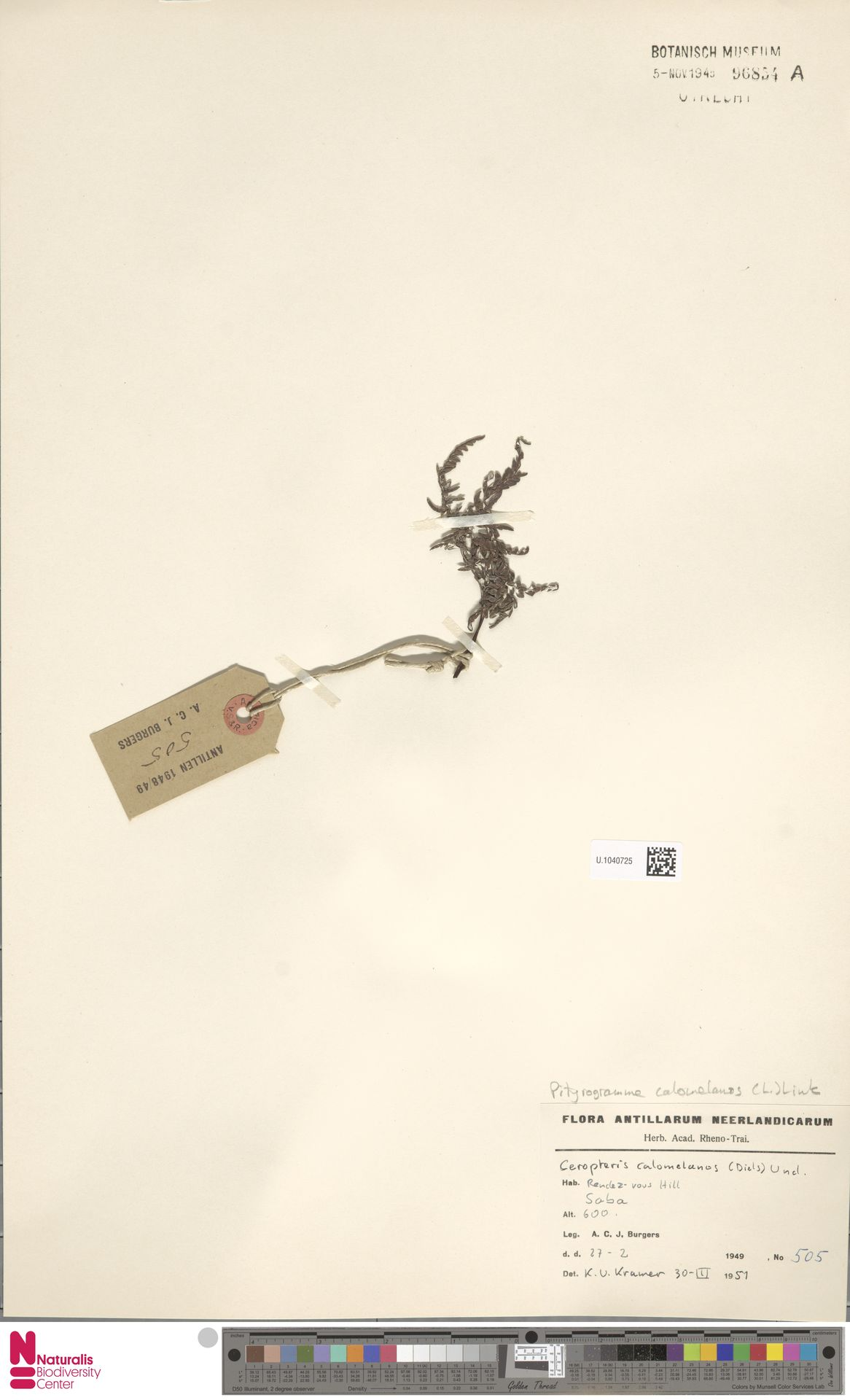 U.1040725 | Pityrogramma calomelanos (L.) Link