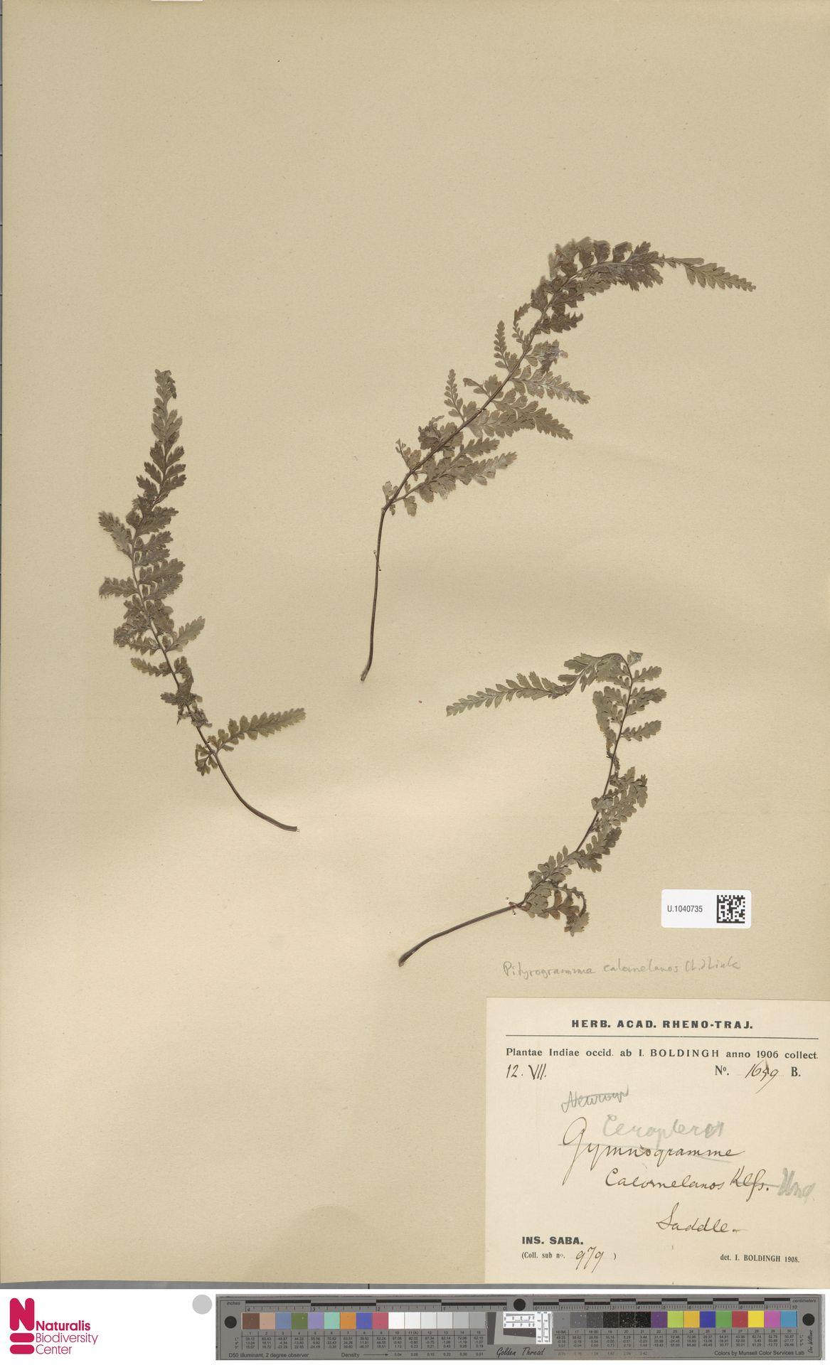 U.1040735   Pityrogramma calomelanos (L.) Link