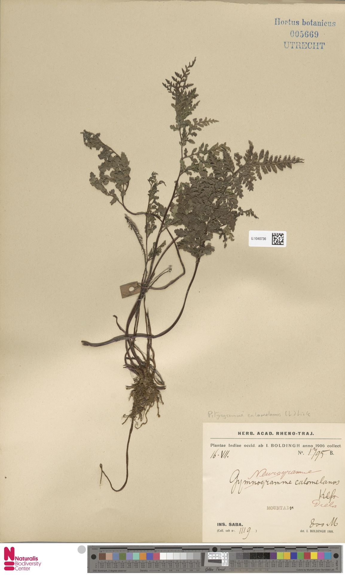 U.1040736 | Pityrogramma calomelanos (L.) Link