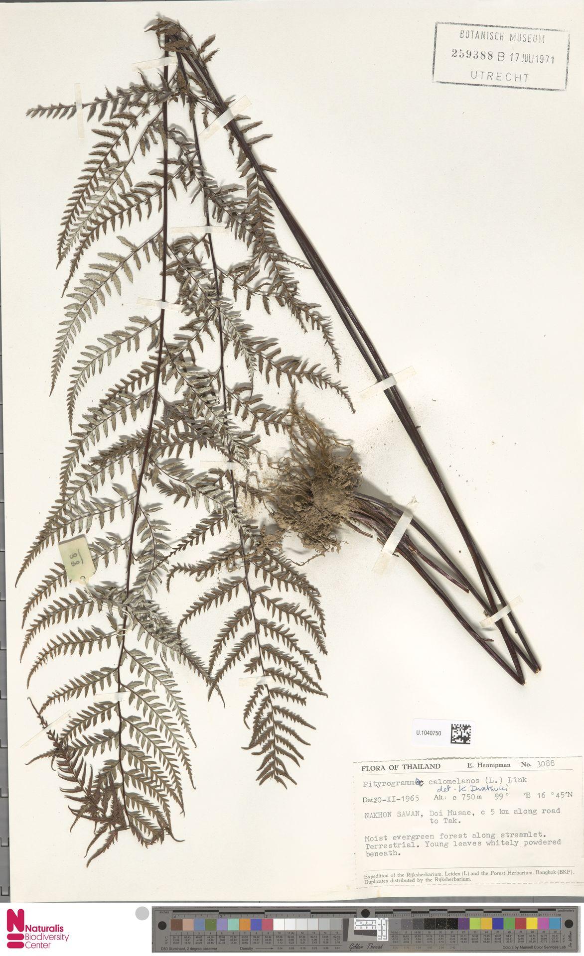 U.1040750 | Pityrogramma calomelanos (L.) Link