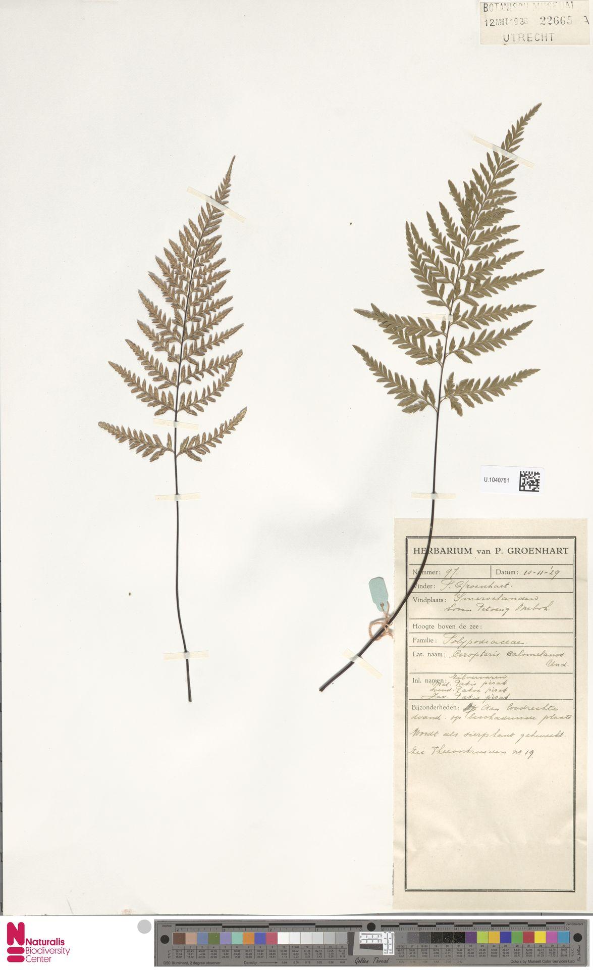 U.1040751   Pityrogramma calomelanos (L.) Link