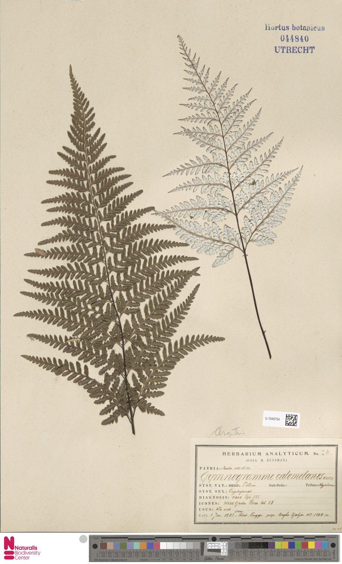 U.1040754 | Pityrogramma calomelanos (L.) Link