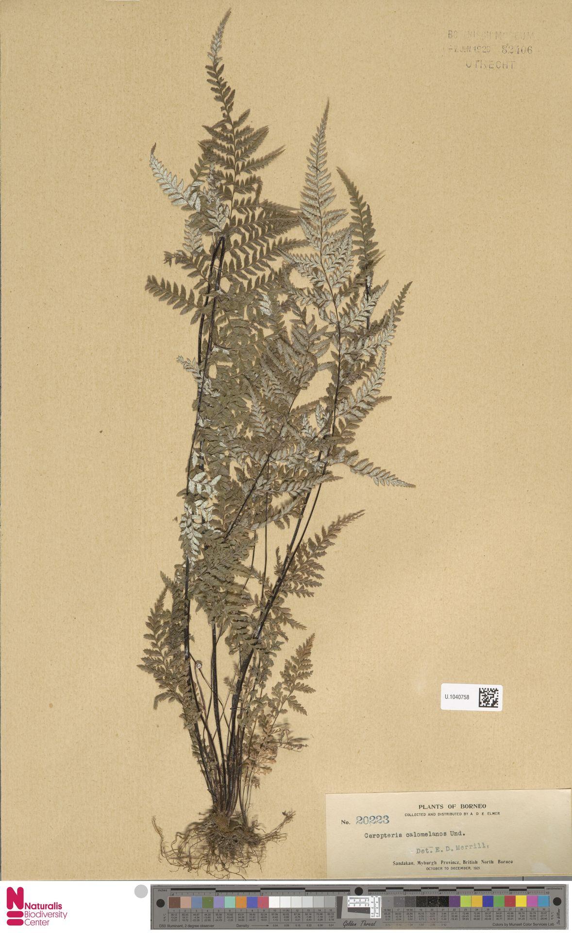 U.1040758 | Pityrogramma calomelanos (L.) Link