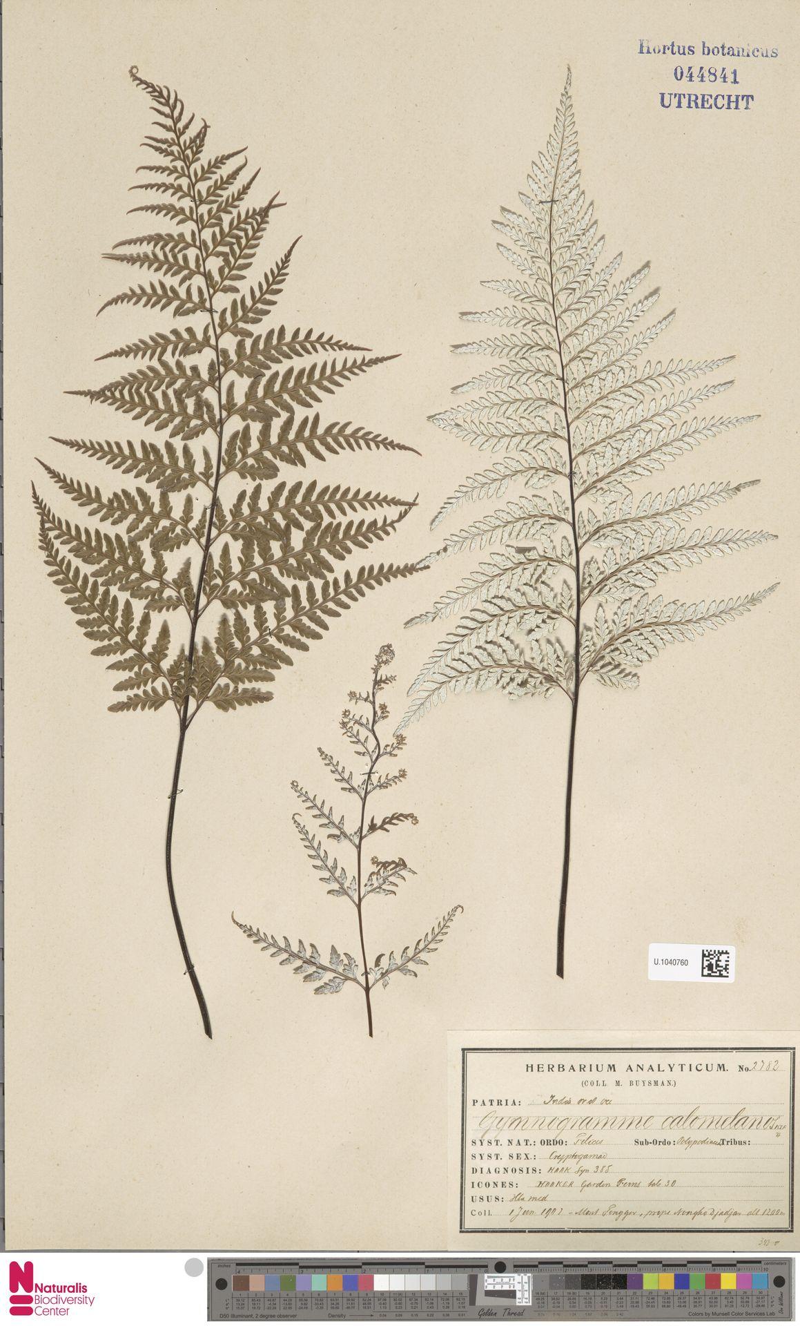 U.1040760 | Pityrogramma calomelanos (L.) Link