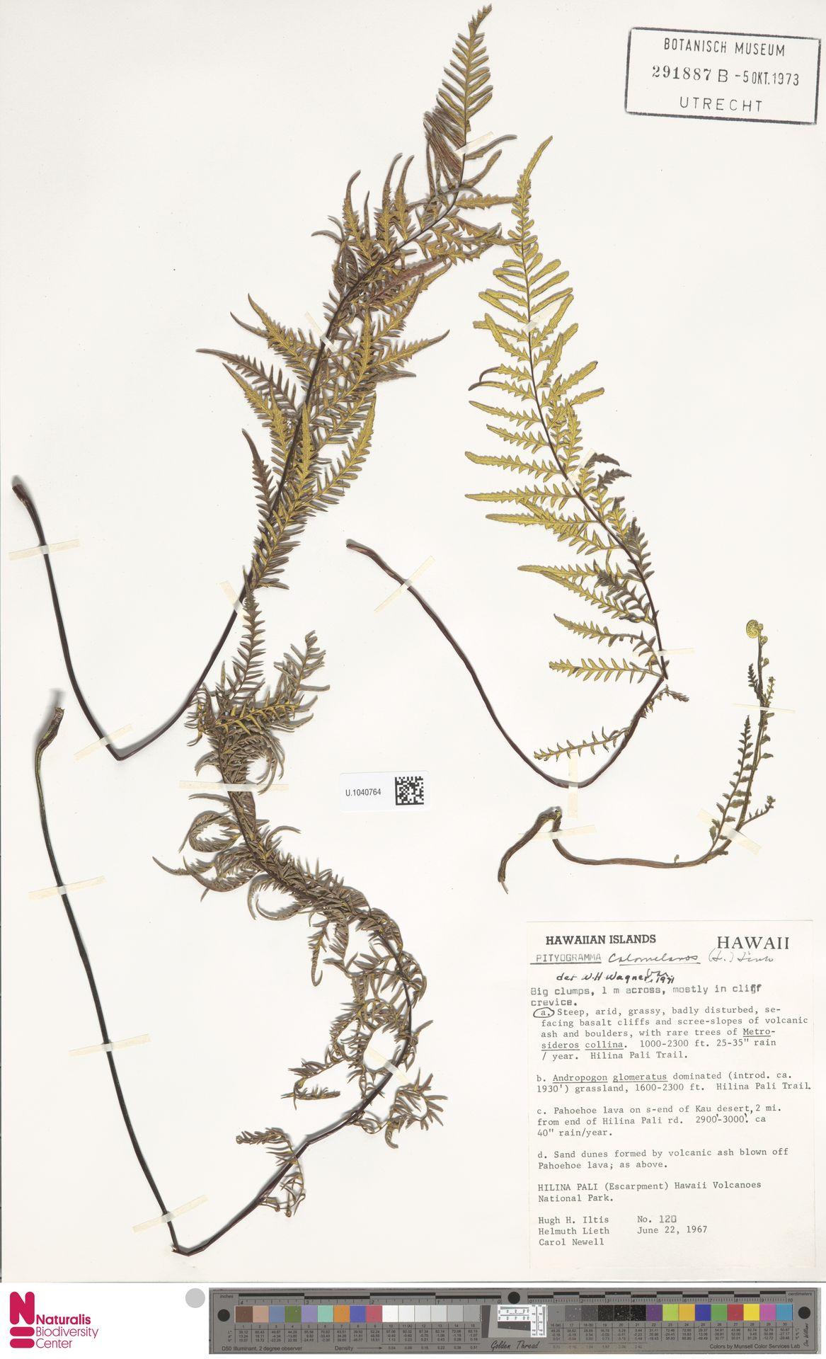 U.1040764 | Pityrogramma calomelanos (L.) Link