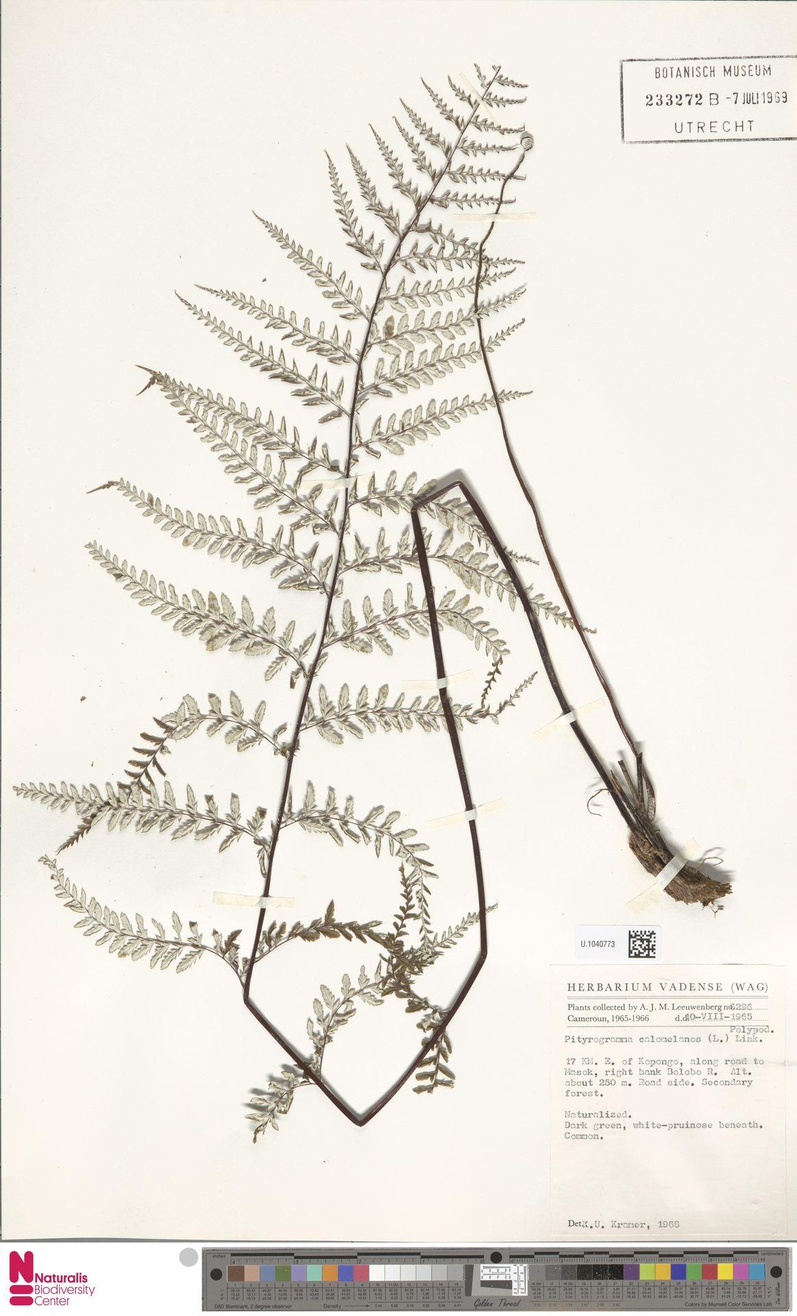 U.1040773 | Pityrogramma calomelanos (L.) Link