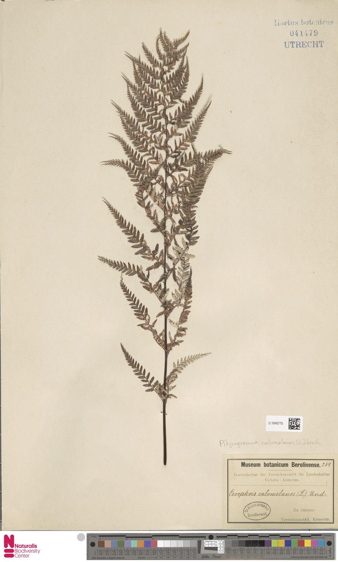 U.1040775 | Pityrogramma calomelanos (L.) Link
