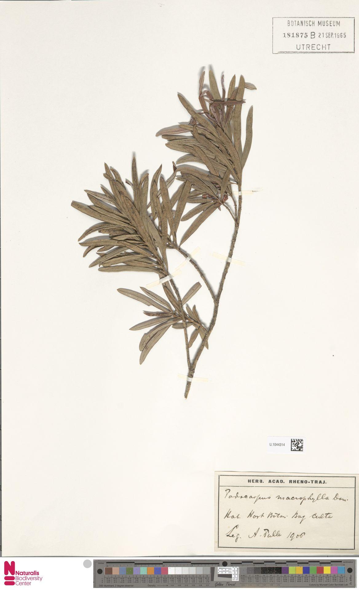U.1044314   Podocarpus macrophyllus (Thunb.) Sweet