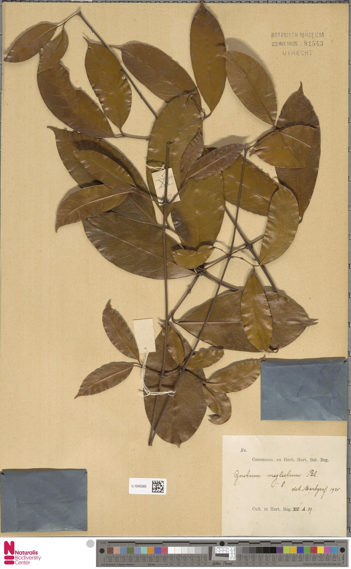 U.1045560   Gnetum neglectum Blume