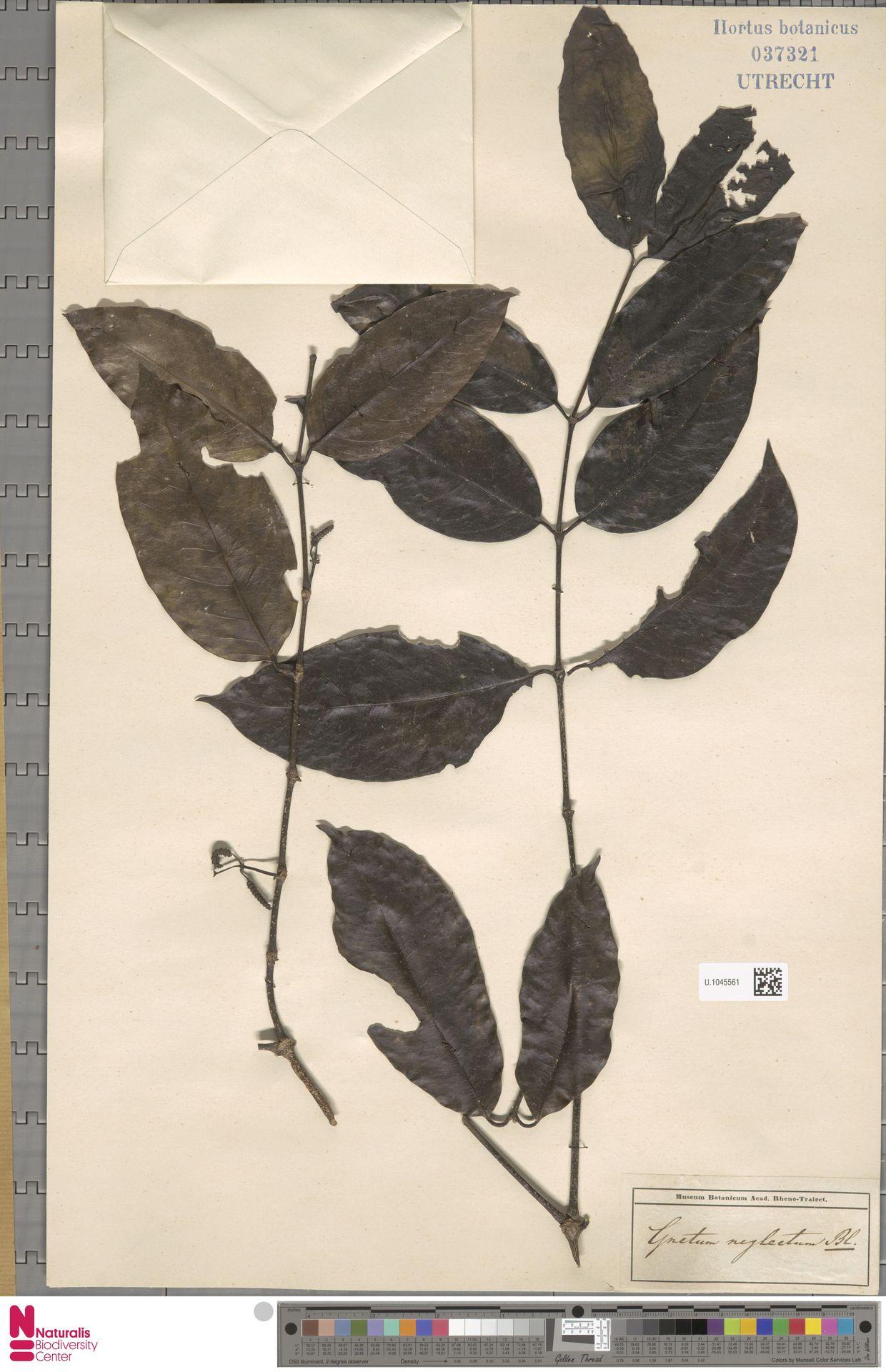 U.1045561 | Gnetum neglectum Blume