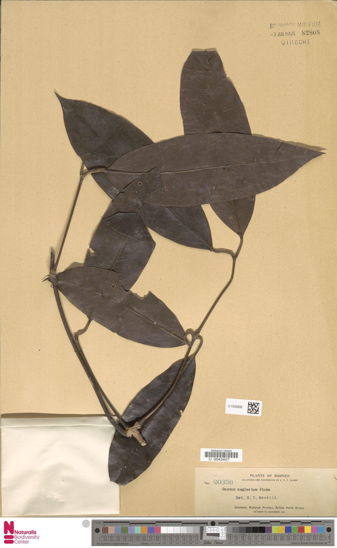 U.1045608 | Gnetum neglectum Blume