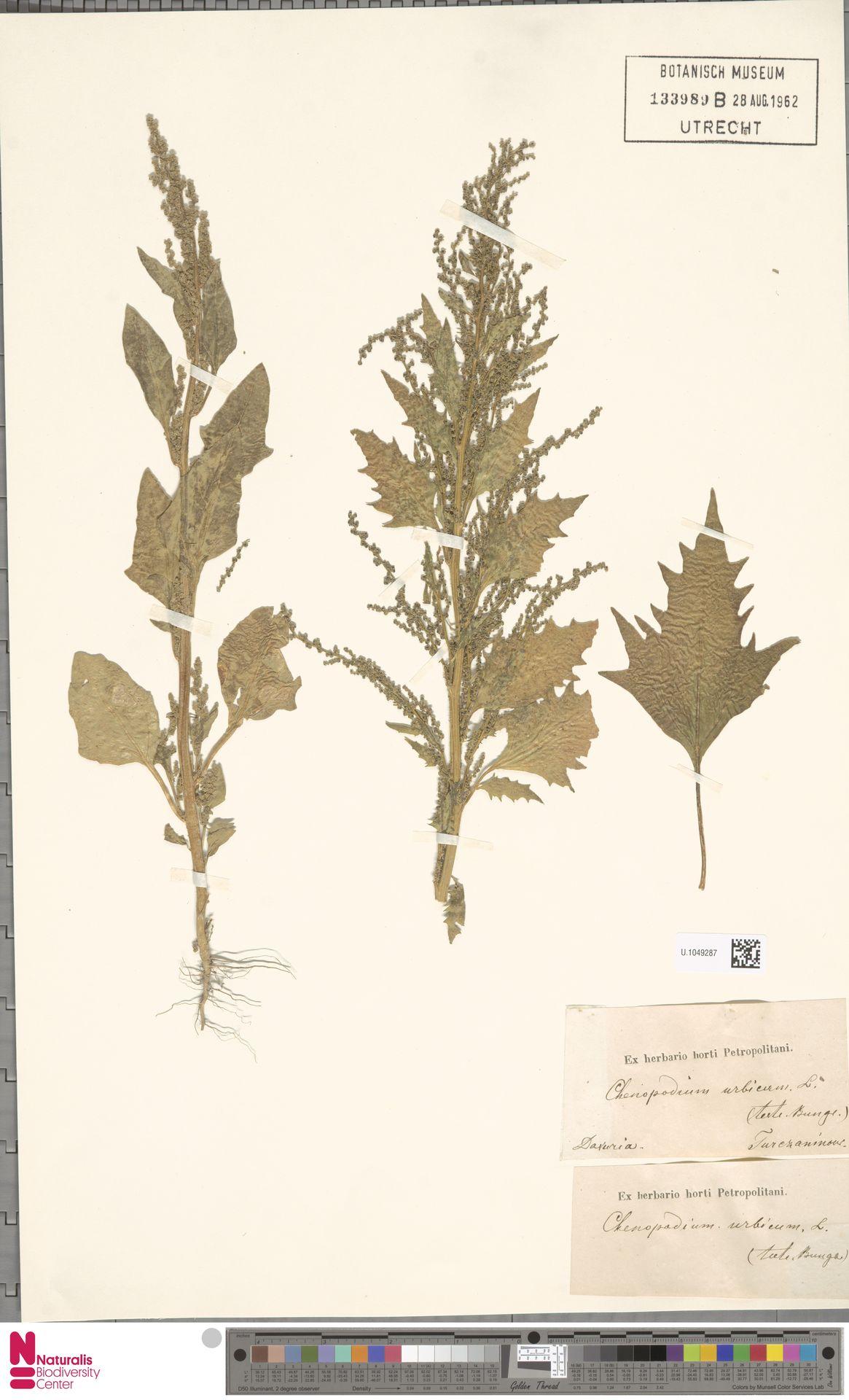 U.1049287 | Chenopodium urbicum L.