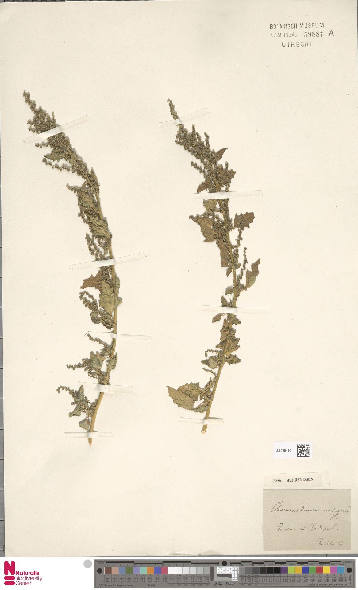 U.1049410 | Chenopodium urbicum L.