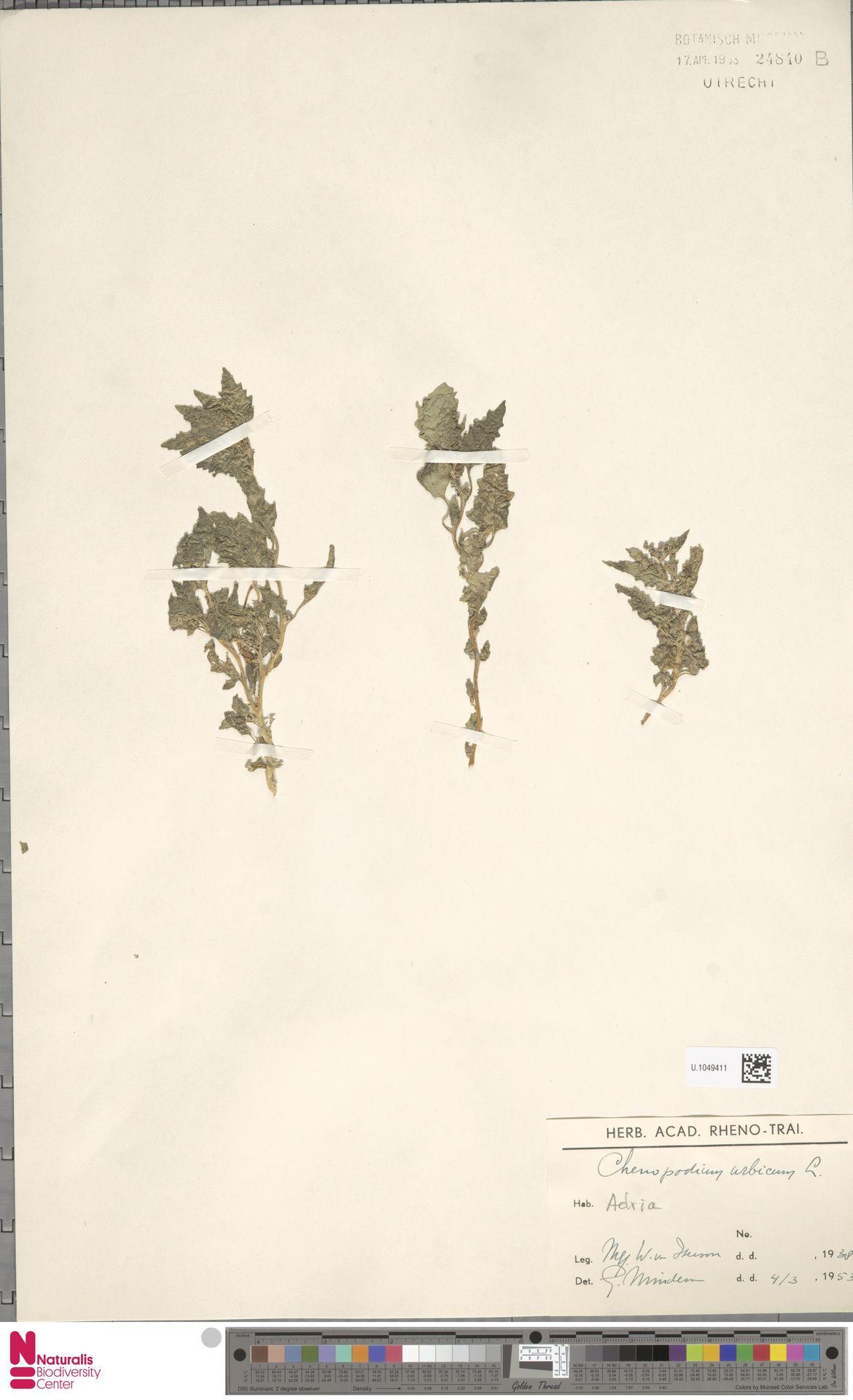 U.1049411 | Chenopodium urbicum L.