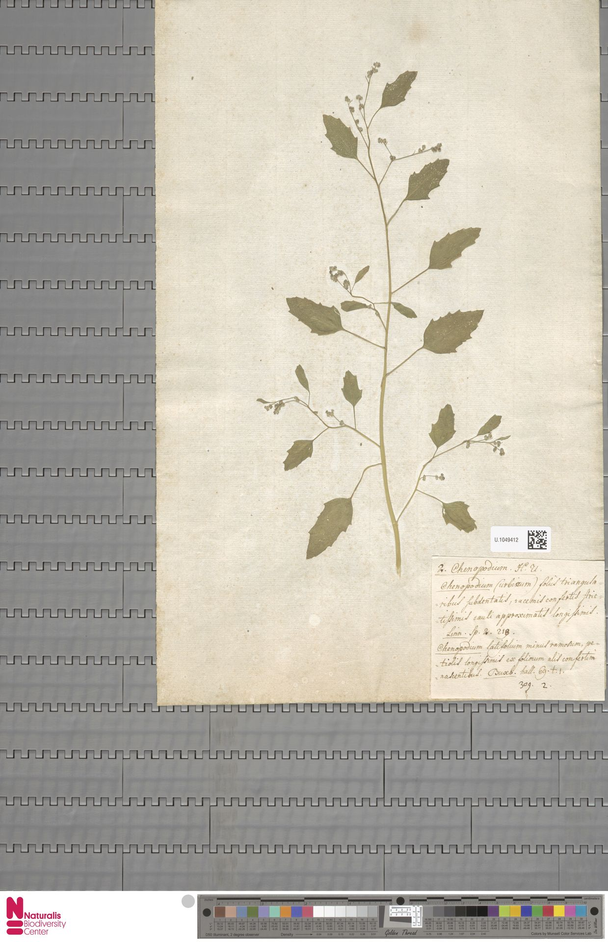 U.1049412 | Chenopodium urbicum L.