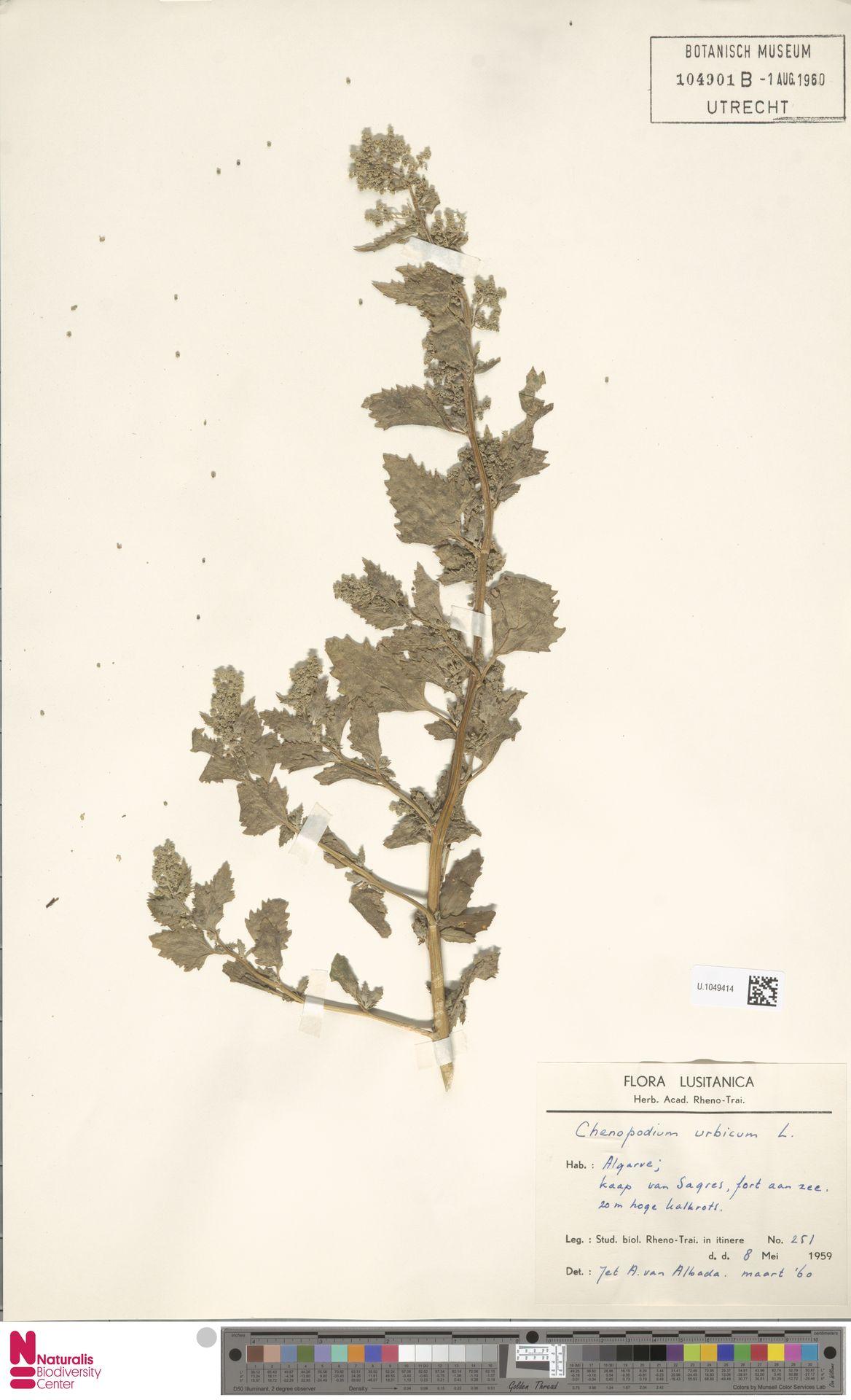 U.1049414 | Chenopodium urbicum L.
