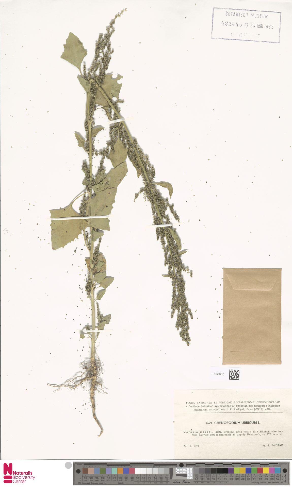 U.1049415 | Chenopodium urbicum L.