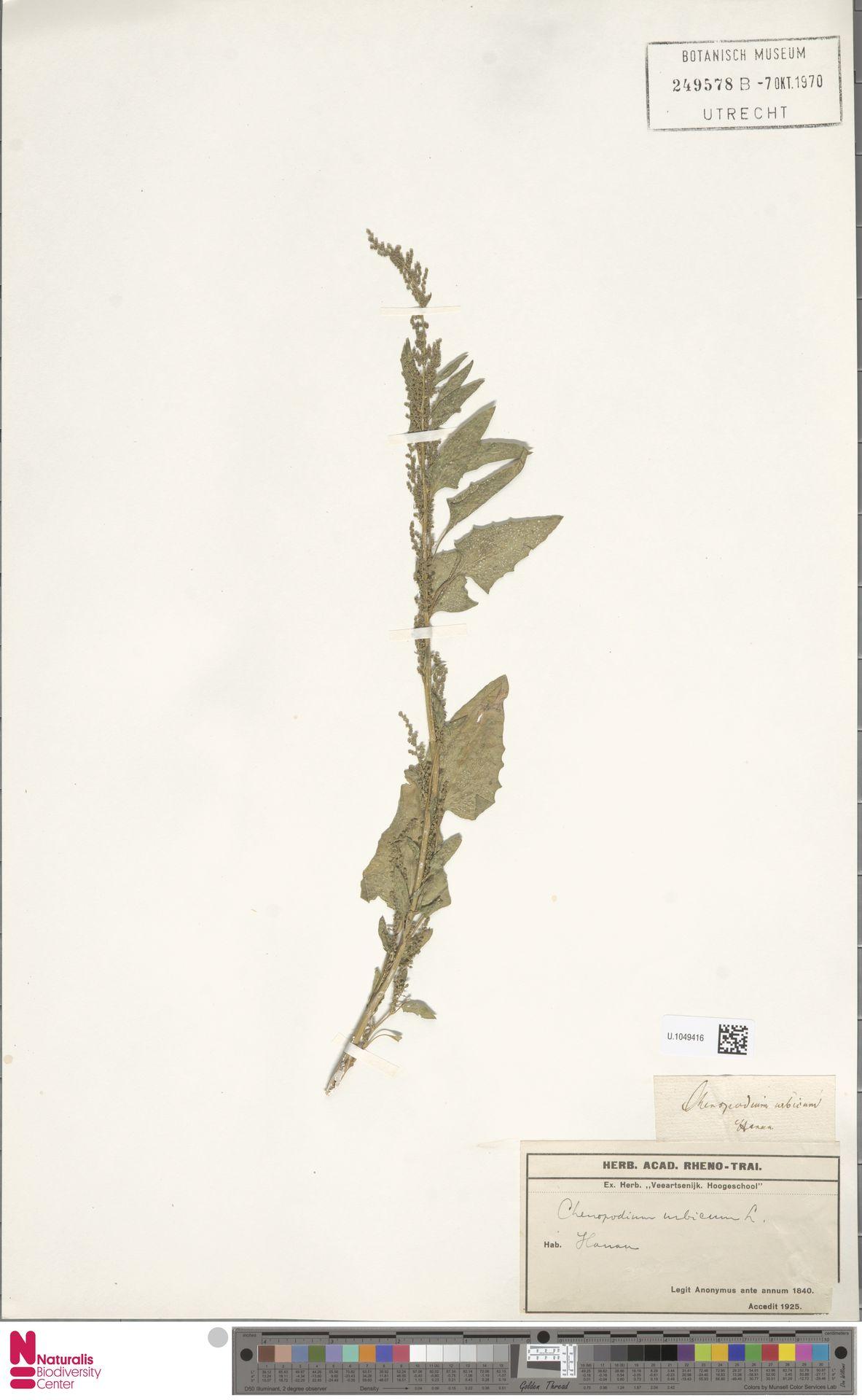 U.1049416 | Chenopodium urbicum L.