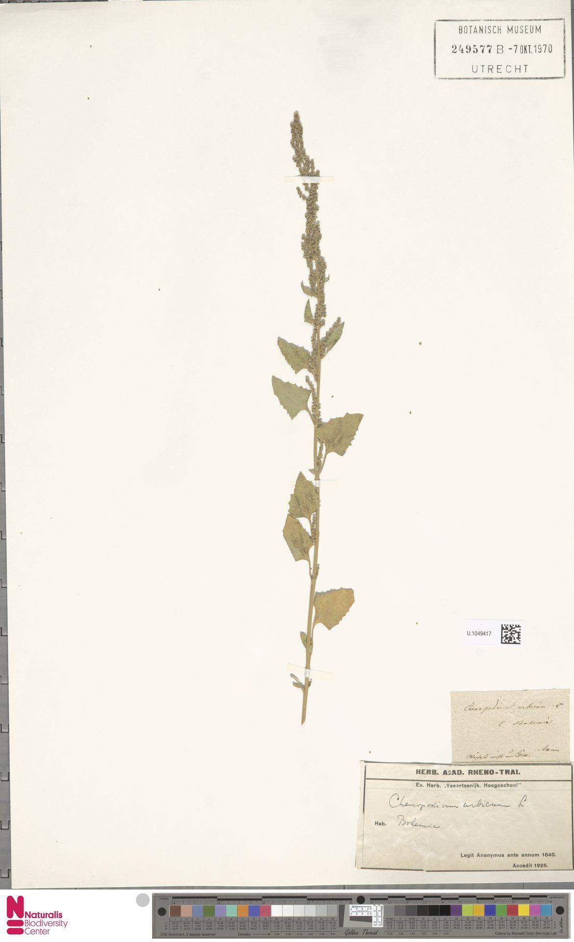 U.1049417 | Chenopodium urbicum L.