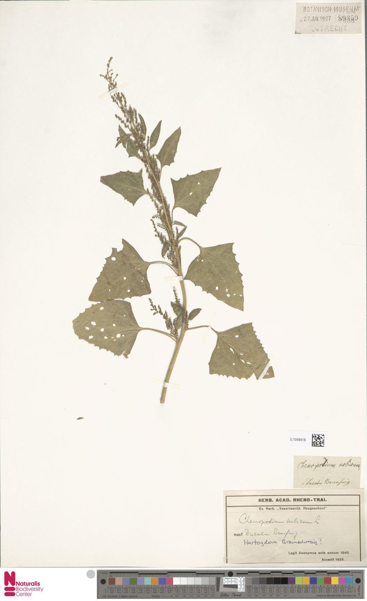 U.1049418 | Chenopodium urbicum L.