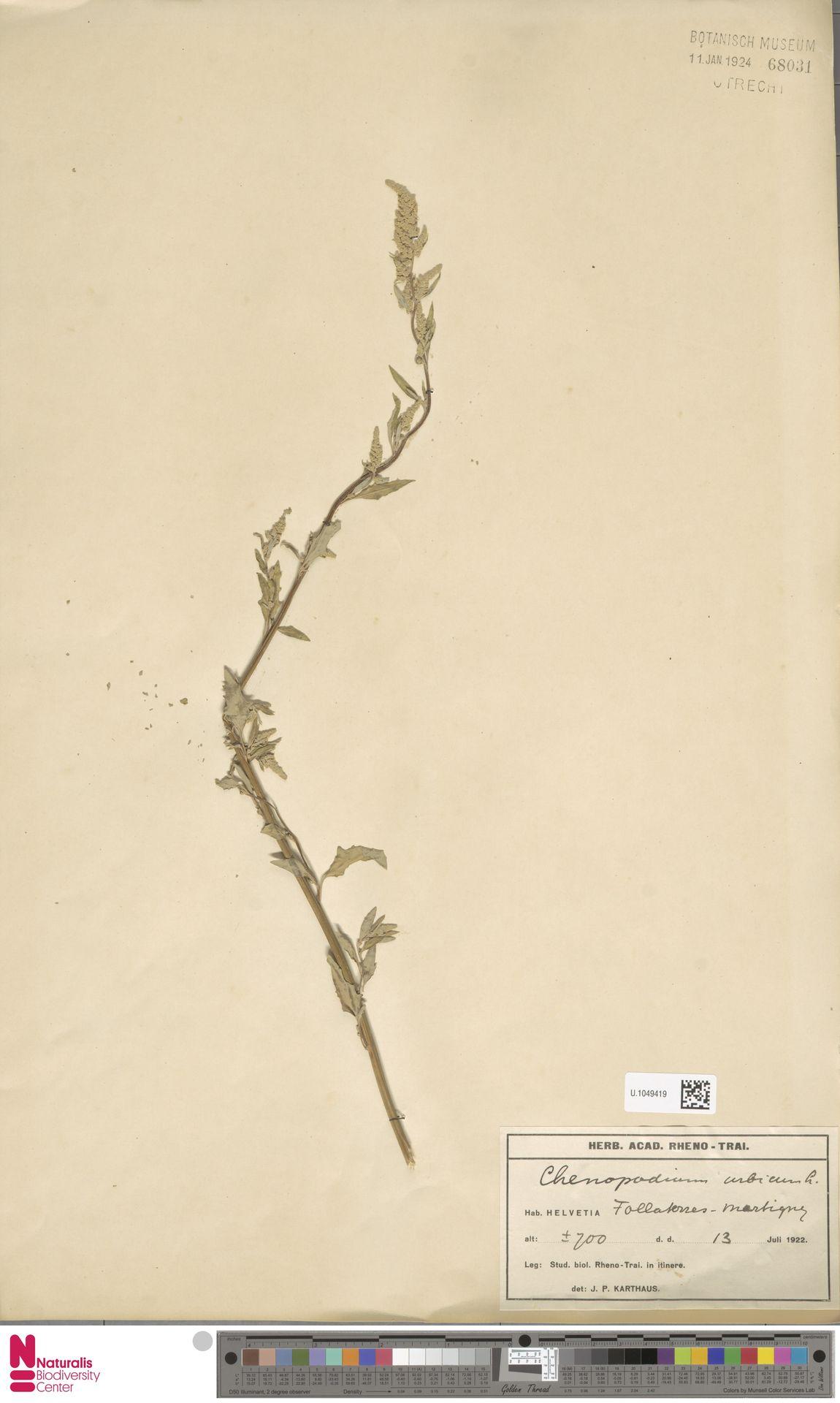 U.1049419 | Chenopodium urbicum L.